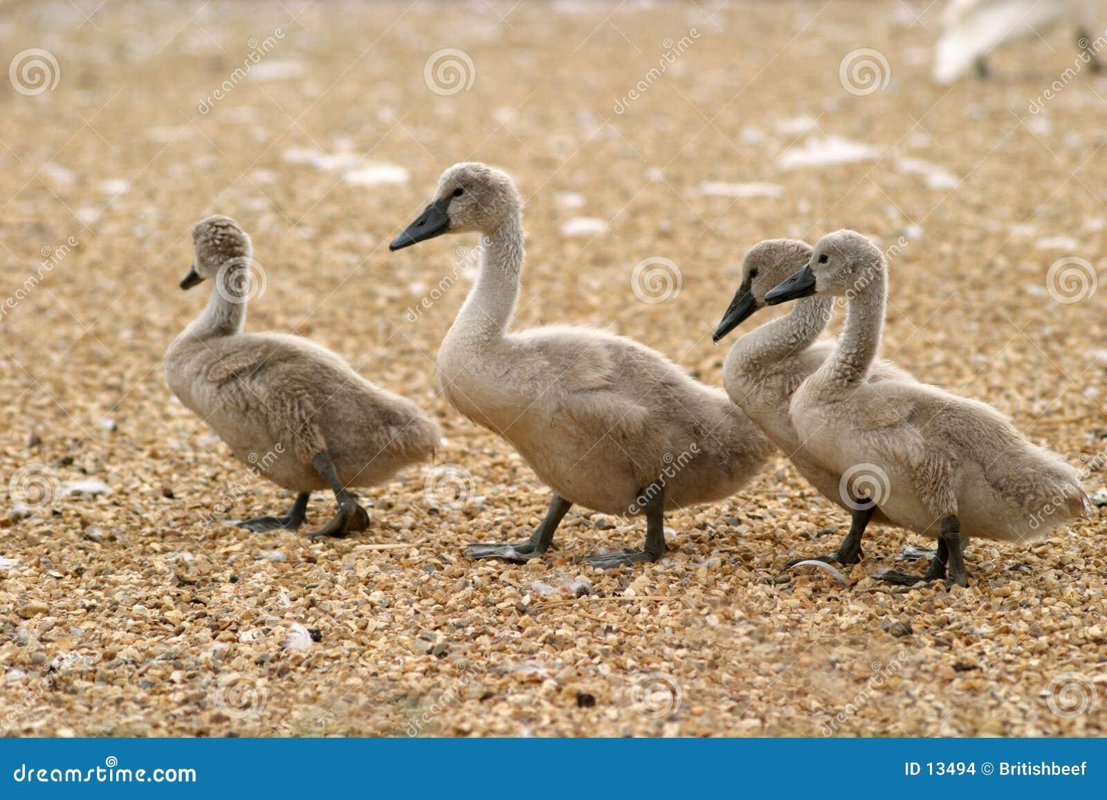 Pollos del cisne