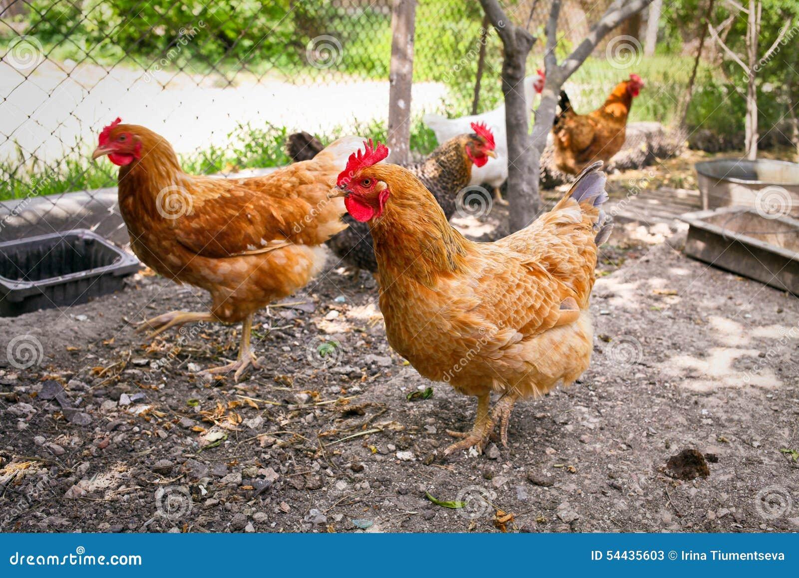 Pollos En Yarda De Las Aves De Corral Imagen De Archivo