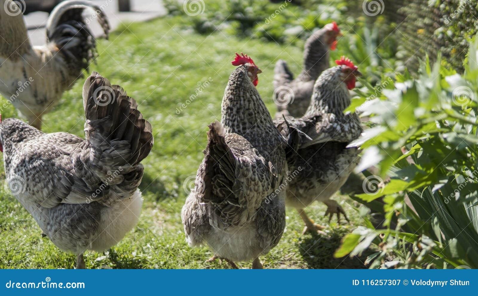 Pollos negros blancos con la cabeza roja en una granja en naturaleza Gallinas en una granja libre de la gama Pollos que caminan e