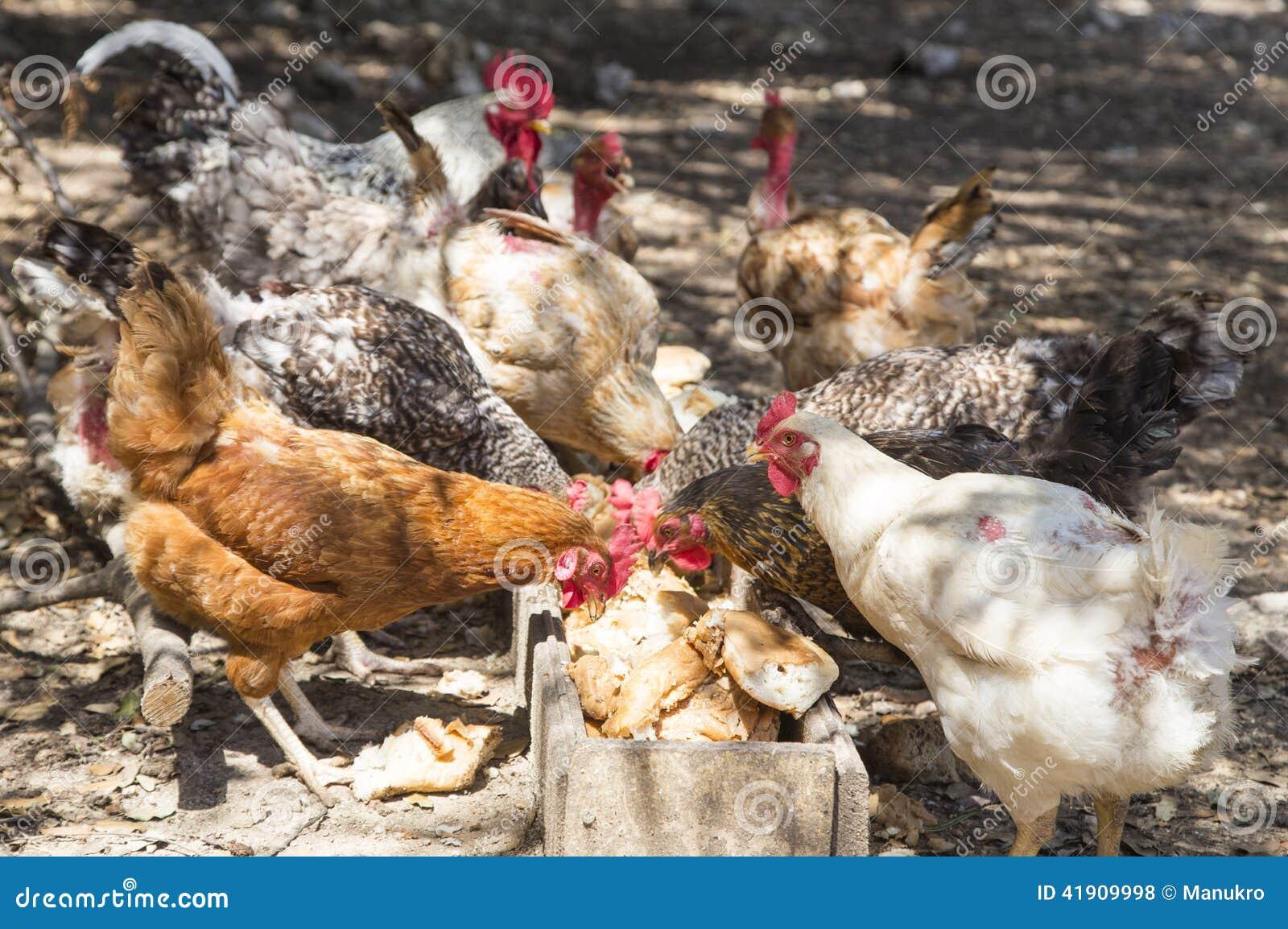 Pollos que comen el pan