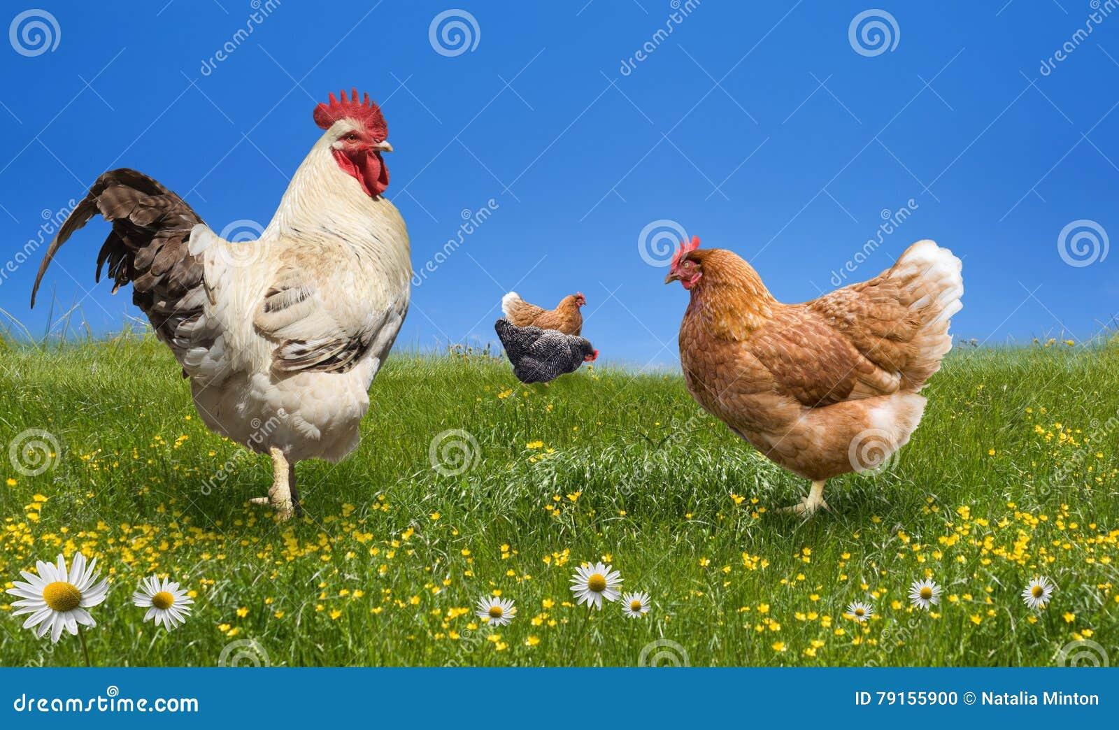 Pollos y martillo en el prado verde