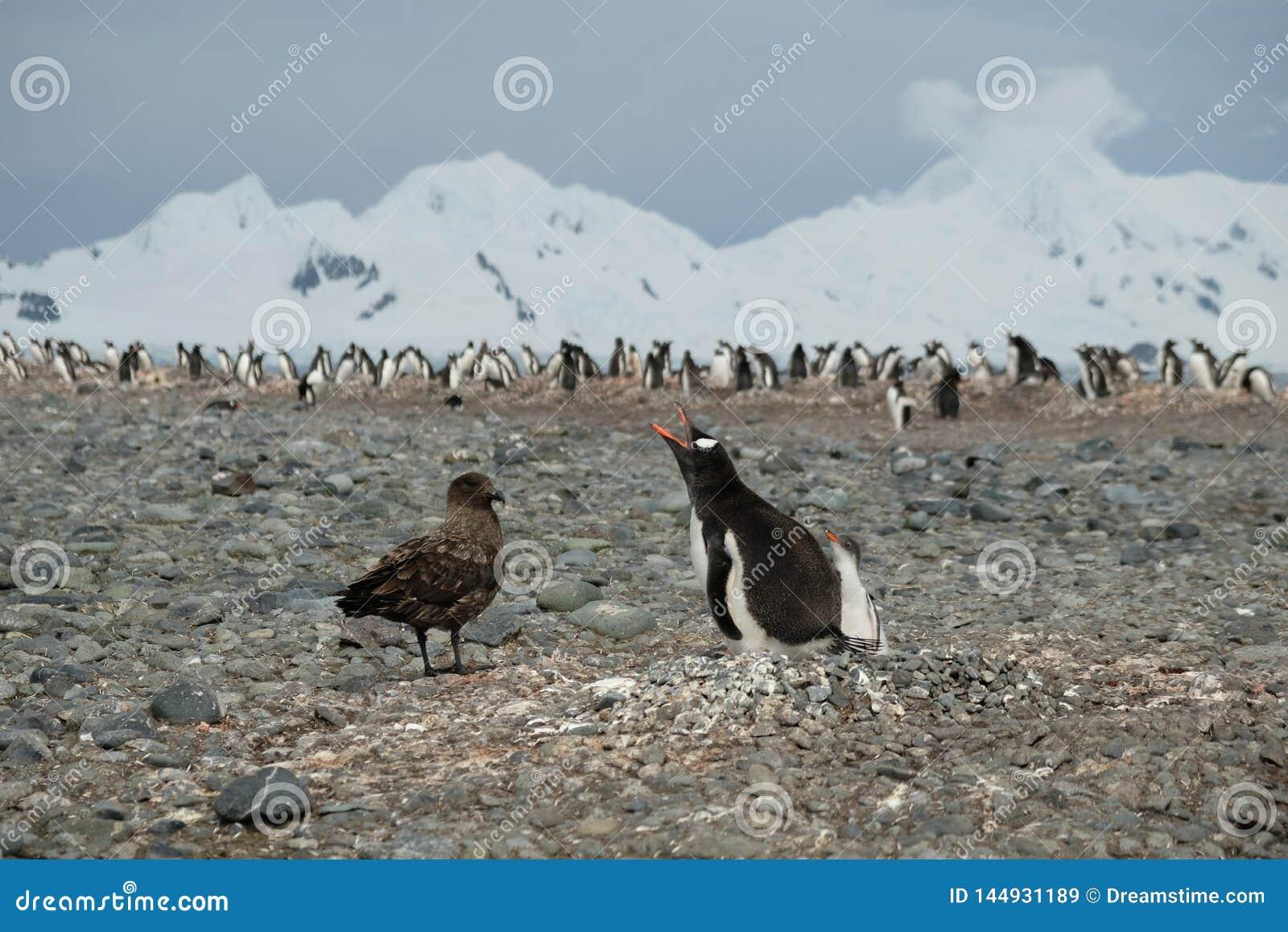 Polluelo de defensa del pingüino del pingüino de la Antártida Gentoo del págalo