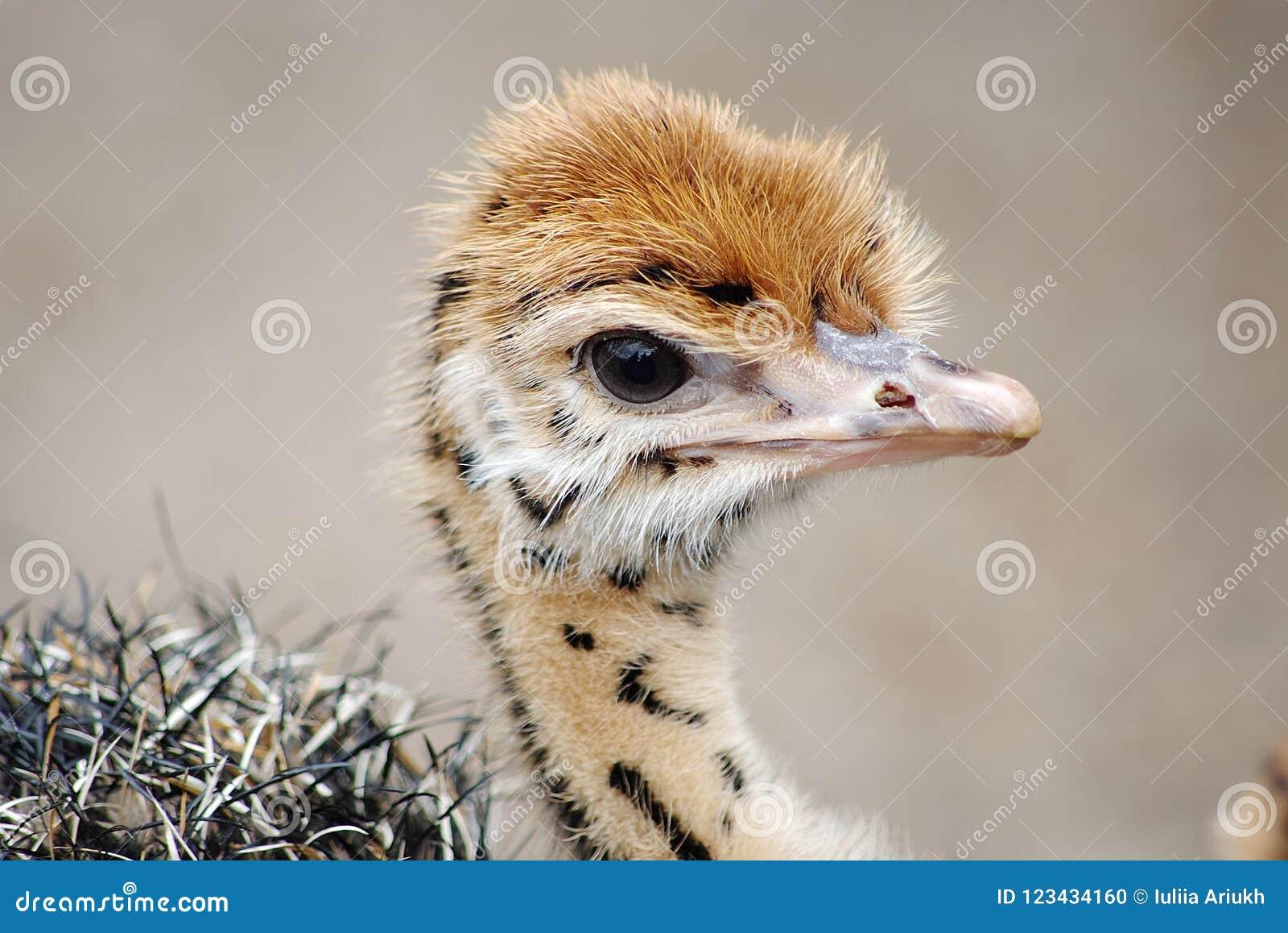 Polluelo de la avestruz del bebé con los puntos distintivos Cabeza del primer