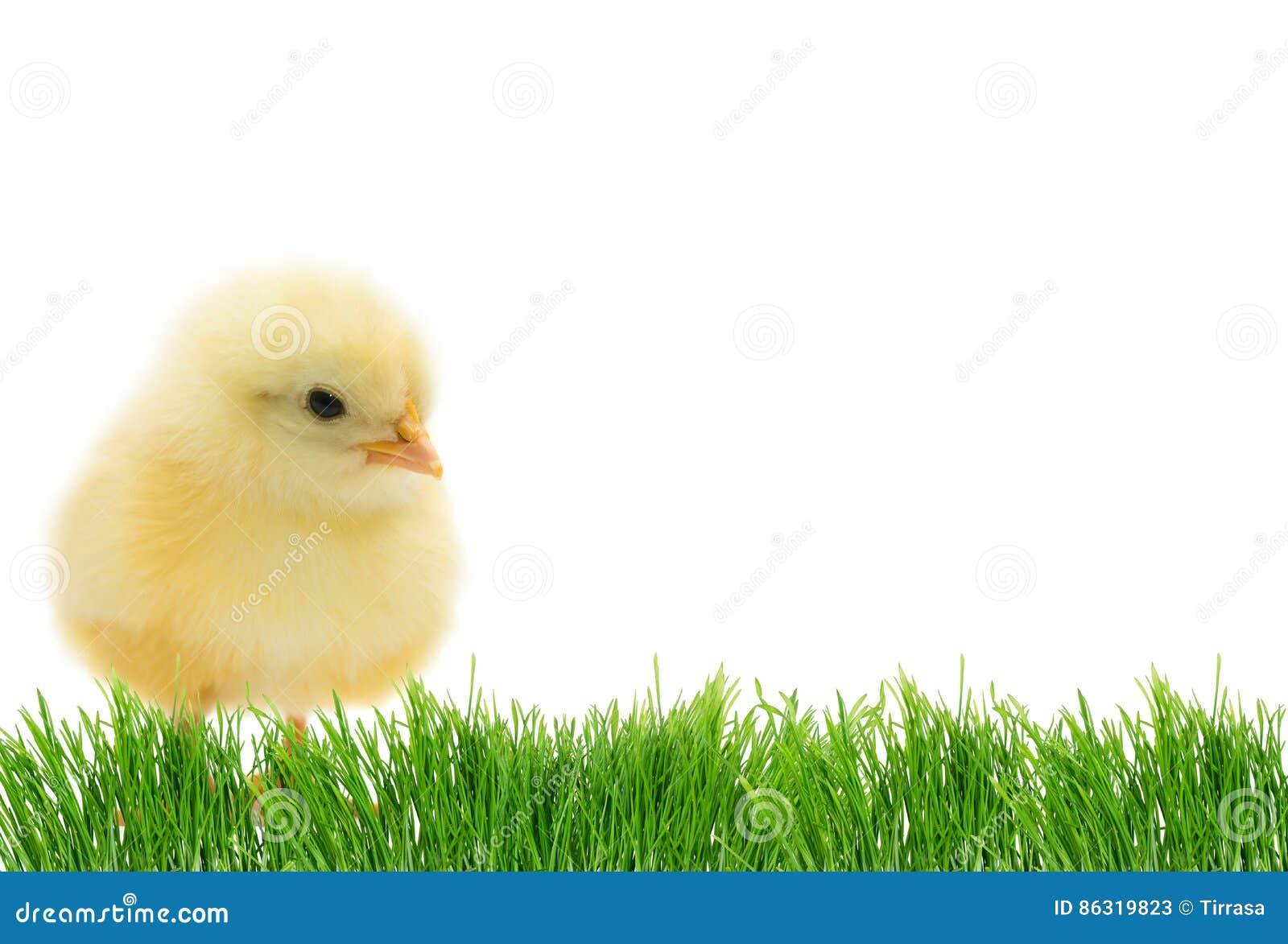 Polluelo lindo de Pascua
