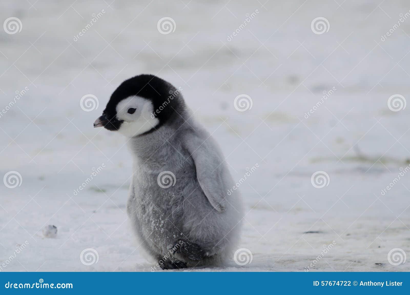 Polluelo solo del pingüino de emperador
