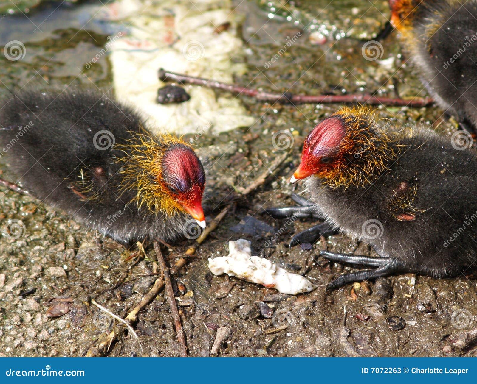 Polluelos de la universidad con pollas