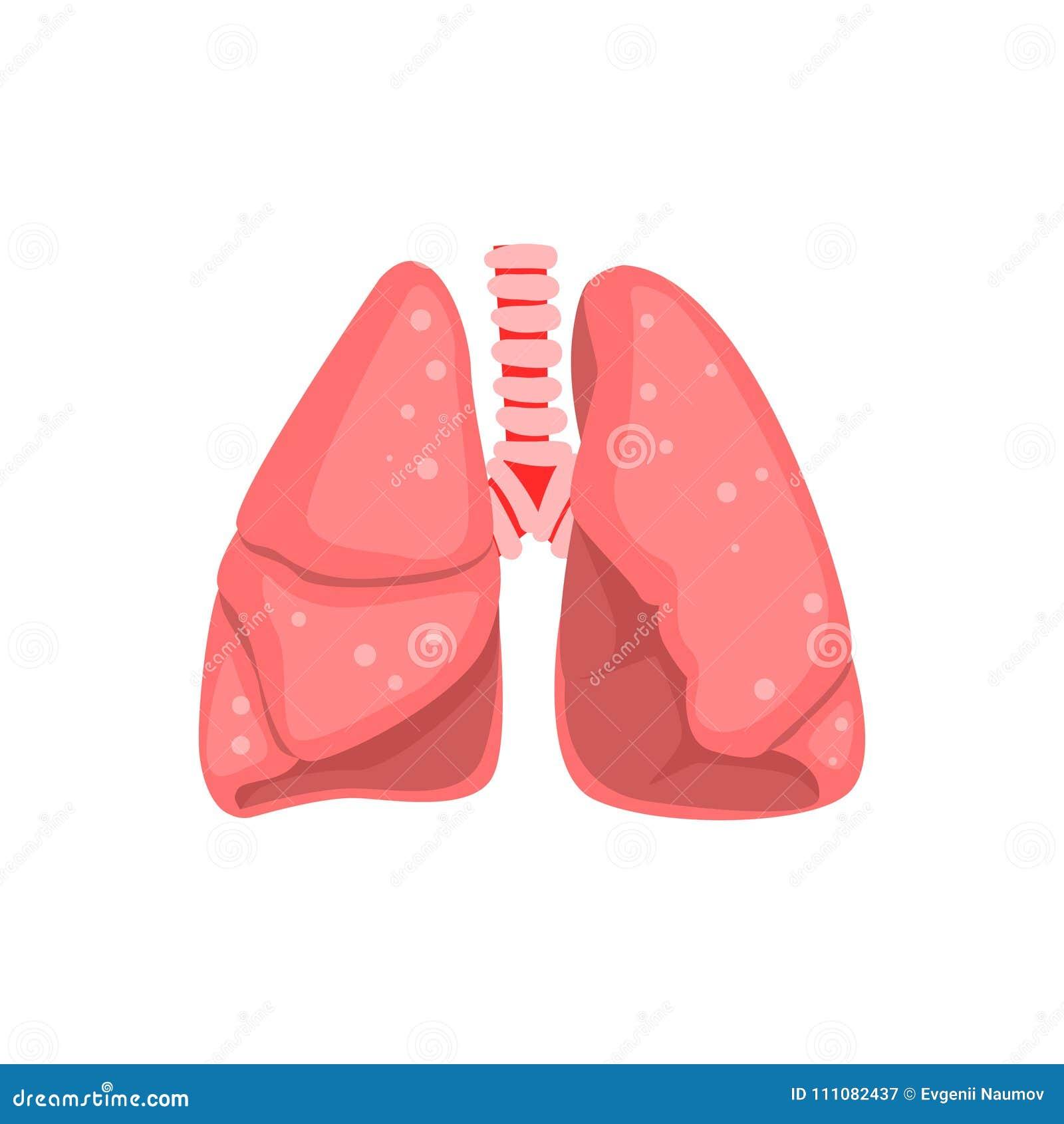 Polmoni umani, illustrazione di vettore di anatomia dell organo interno su un fondo bianco