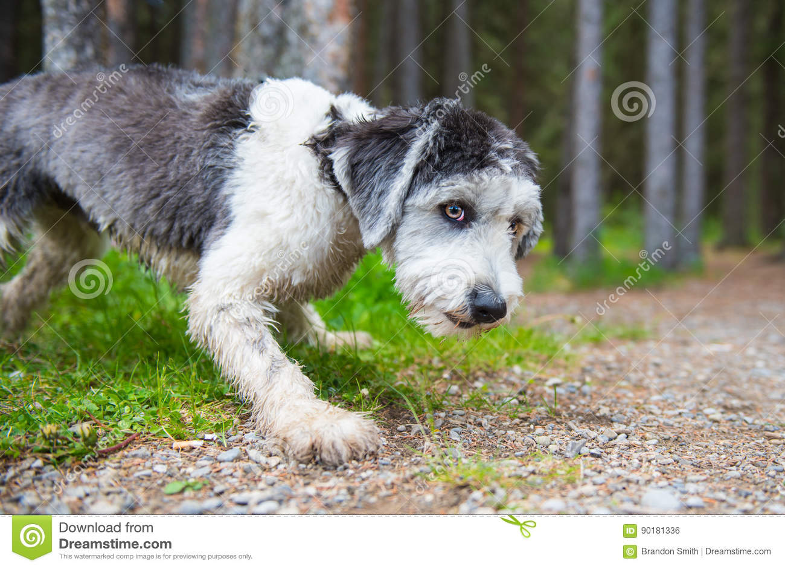 Polski Niżowy Sheepdog