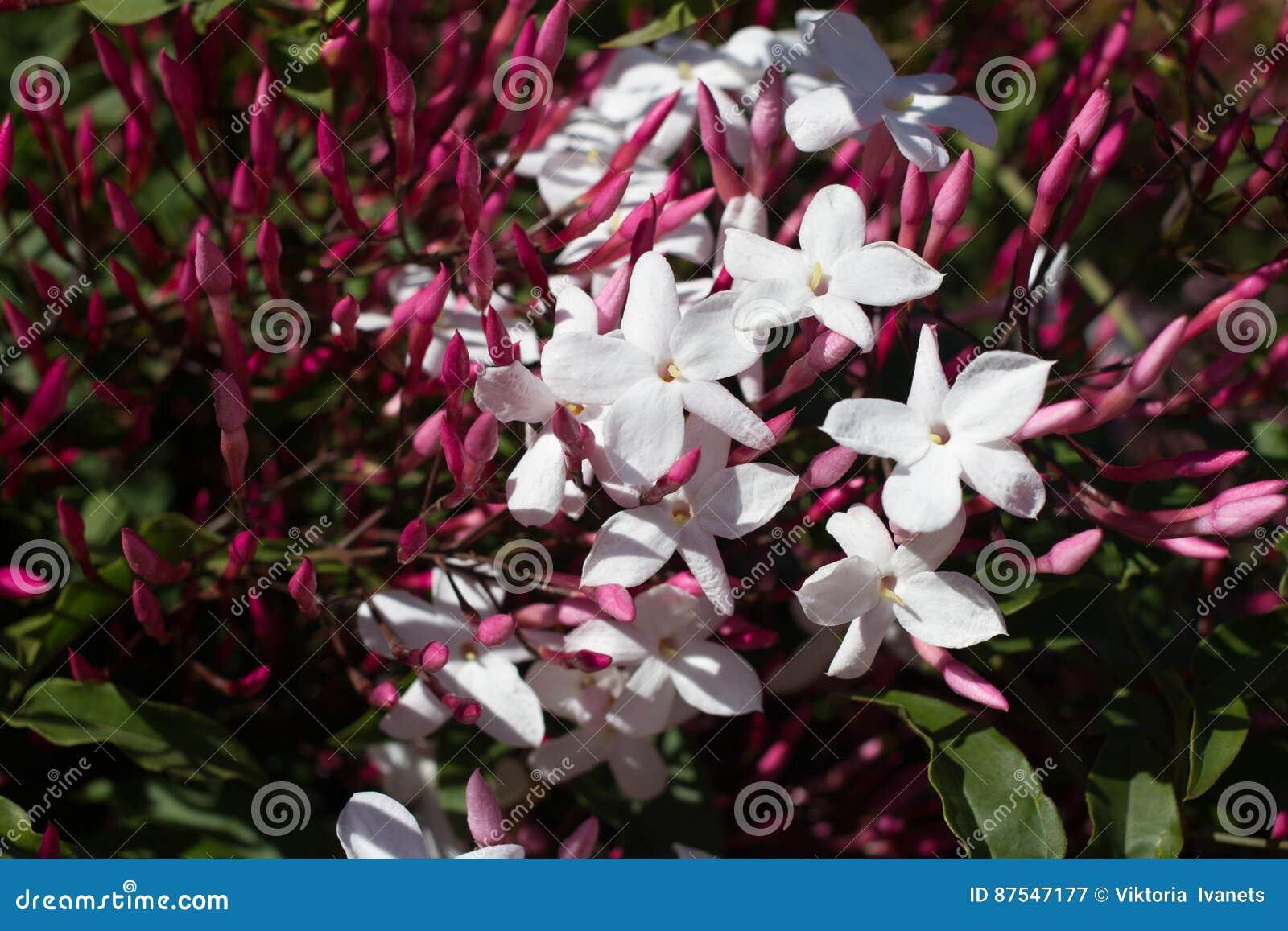 Polyanthum de Jasminum, fleur rose de sambac Liane d étoile d Odorate