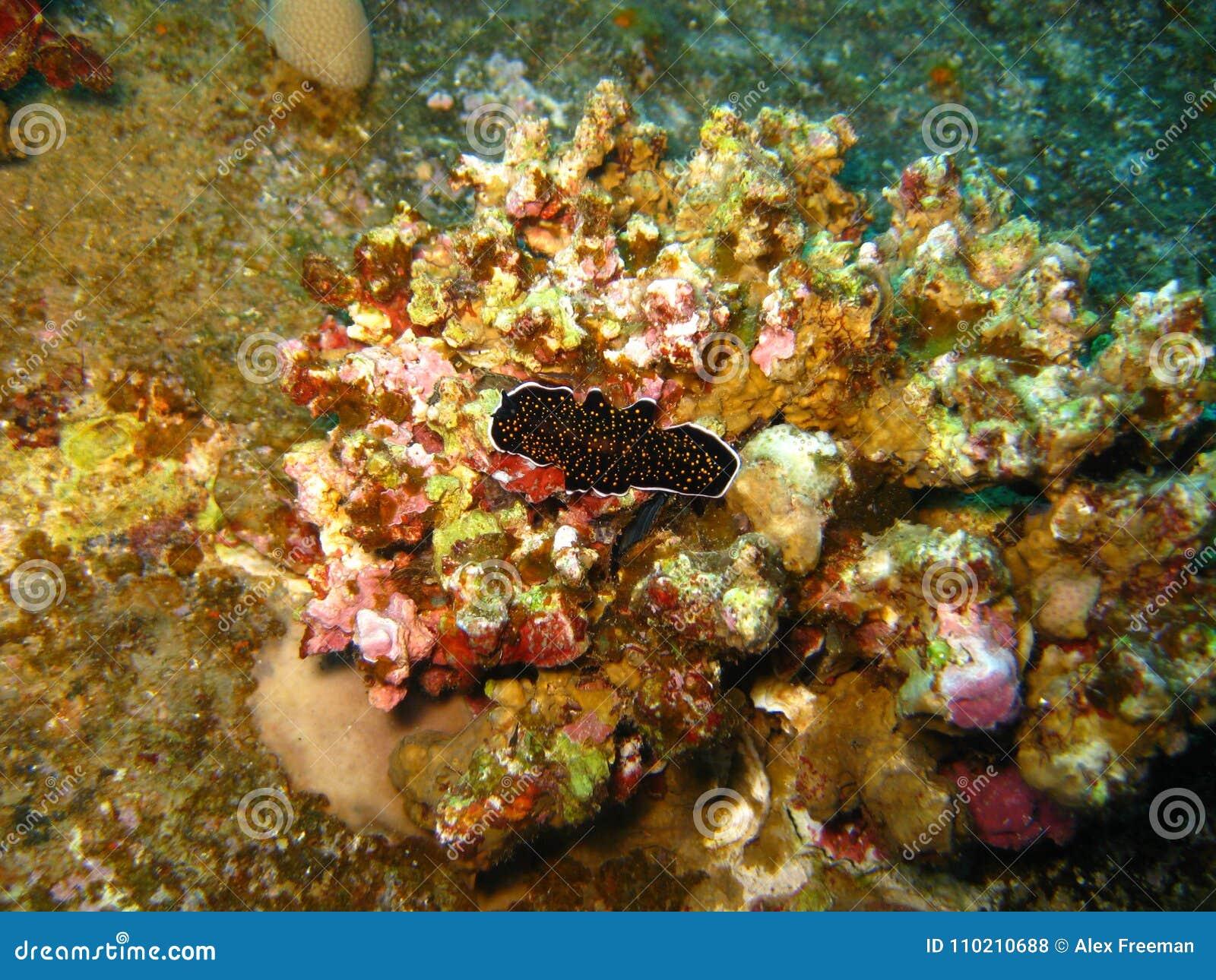 Polyclad Flatworm Nudibranch στο Chrisola Κ