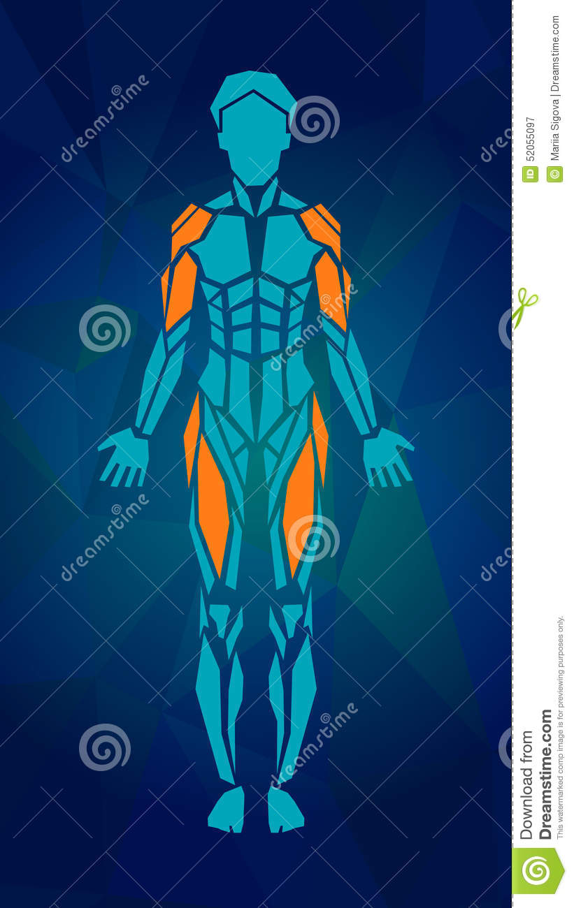 Polygonal Anatomy Of Female Muscular System Stock Vector ...