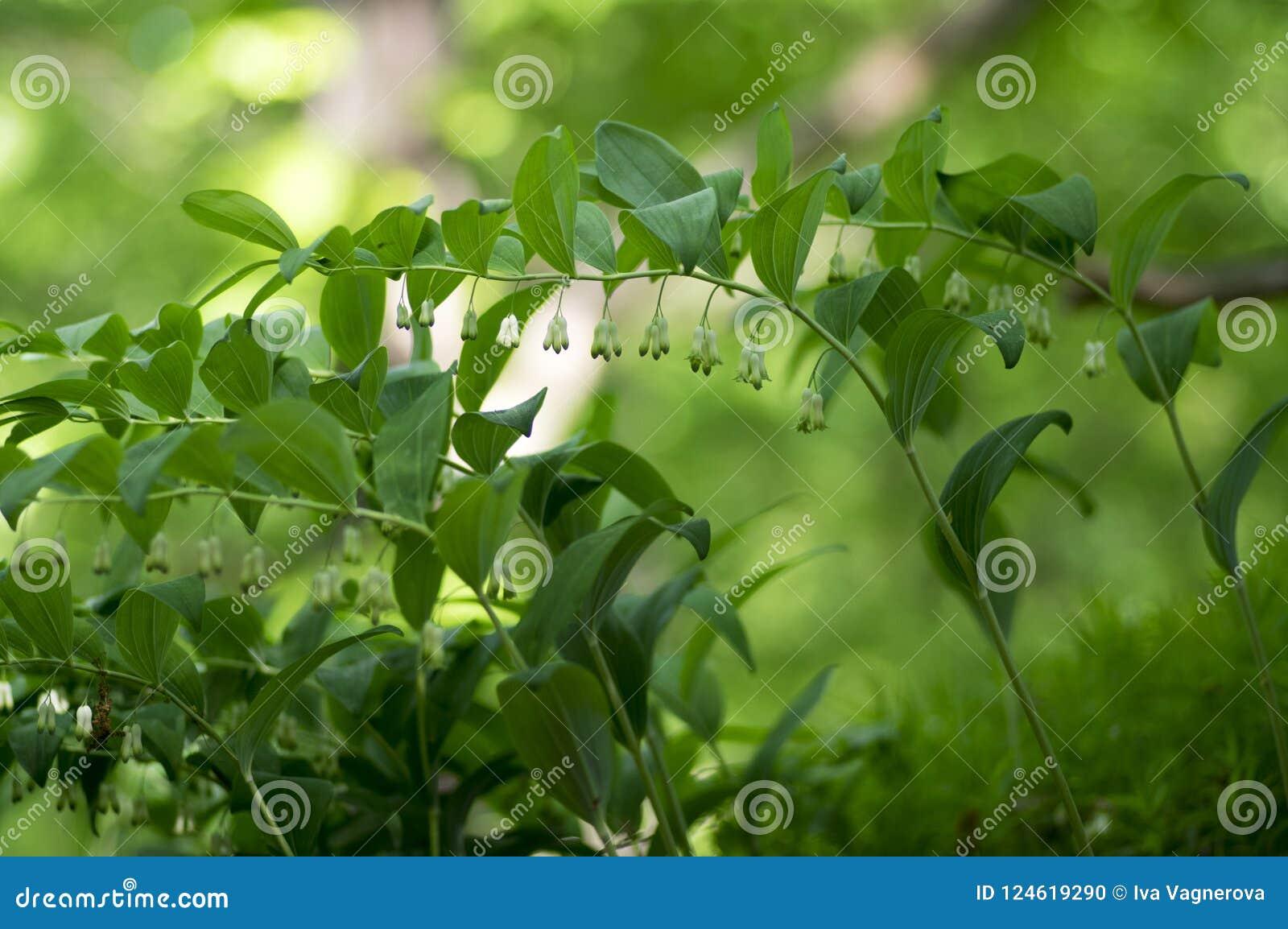Polygonatum Odoratum White Forest Flowers In Bloom