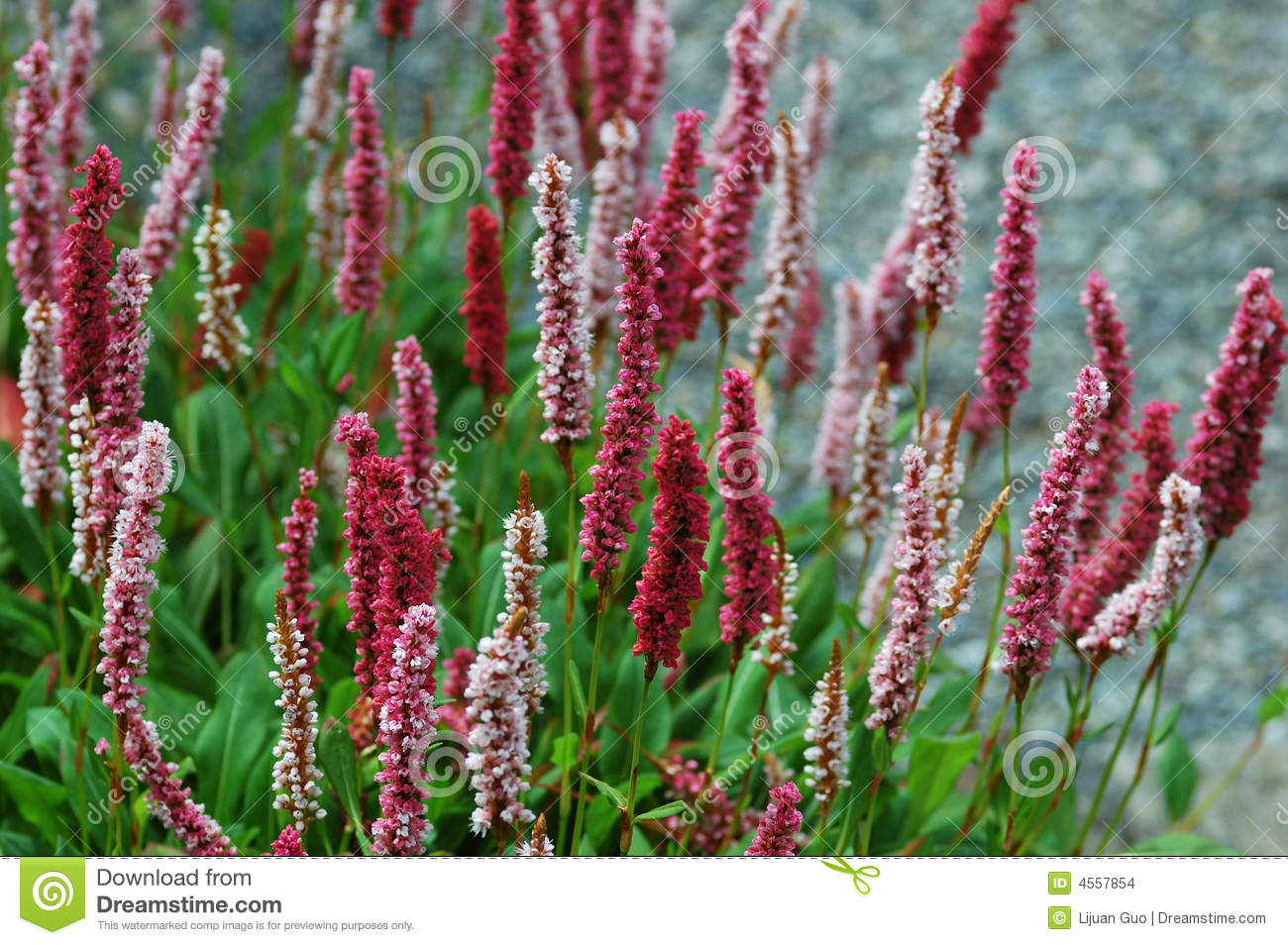 polygonum 'darjeeling red', perennial flowers stock images  image, Natural flower