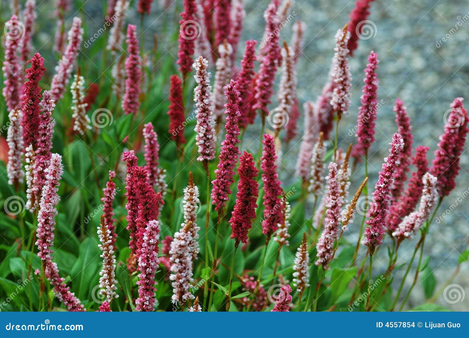 Perennial Flower Pictures Savingourboysfo