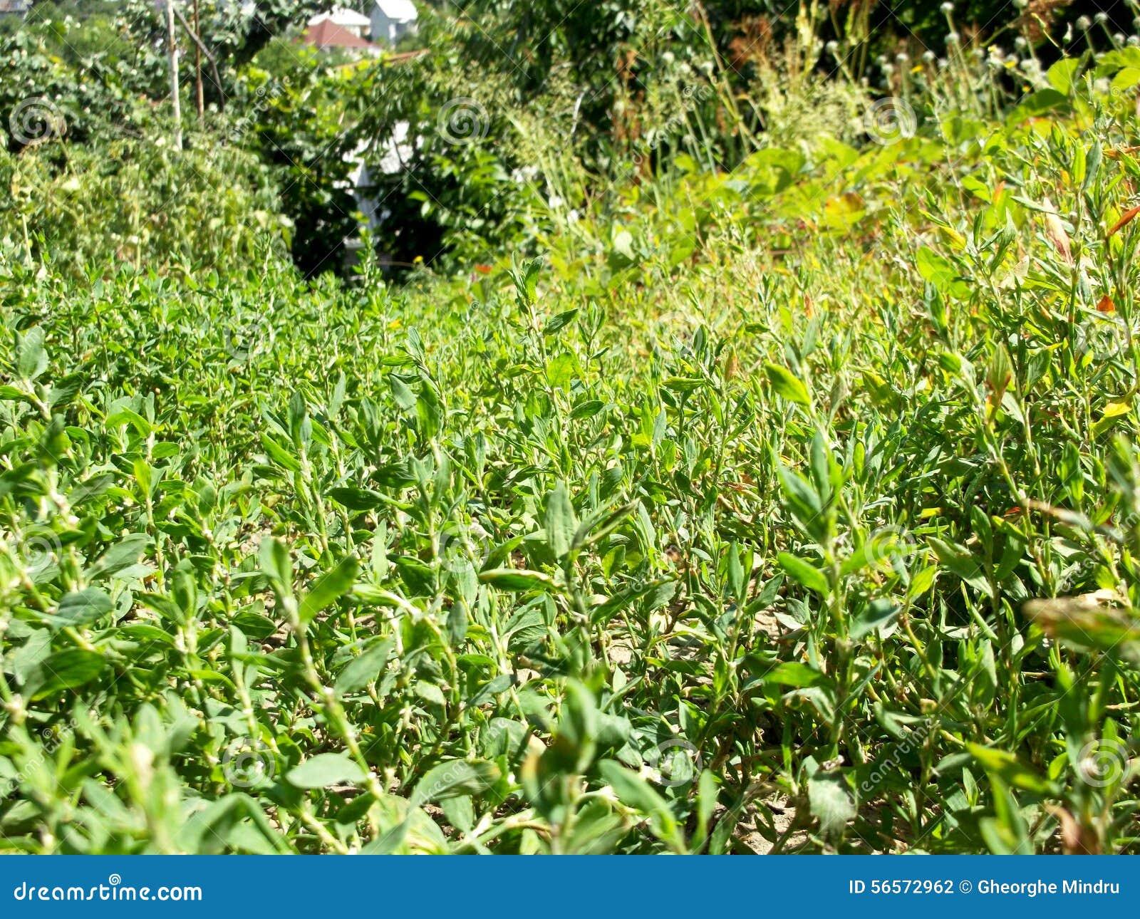 Download Polygonum aviculare στοκ εικόνες. εικόνα από κήπος, μολδαβία - 56572962