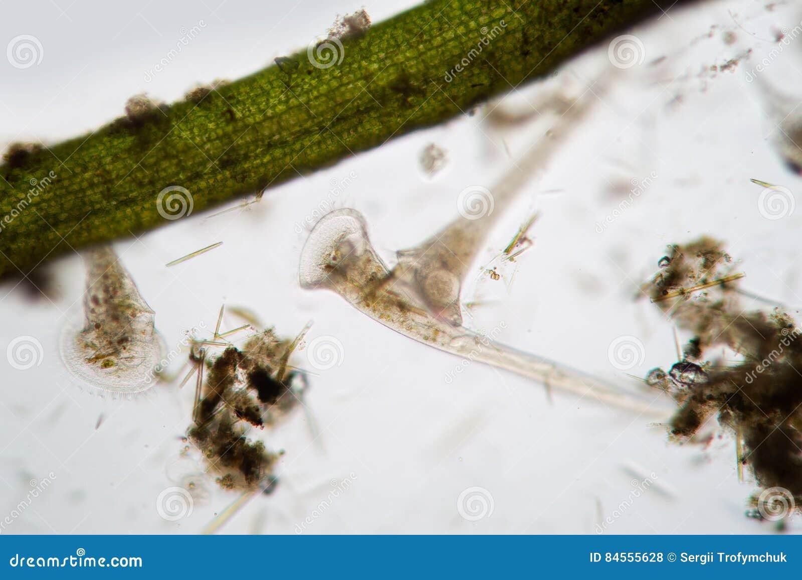Polymorphe Filter Frischwasser-Ð-¡ iliates Infusoria Stentor wässern