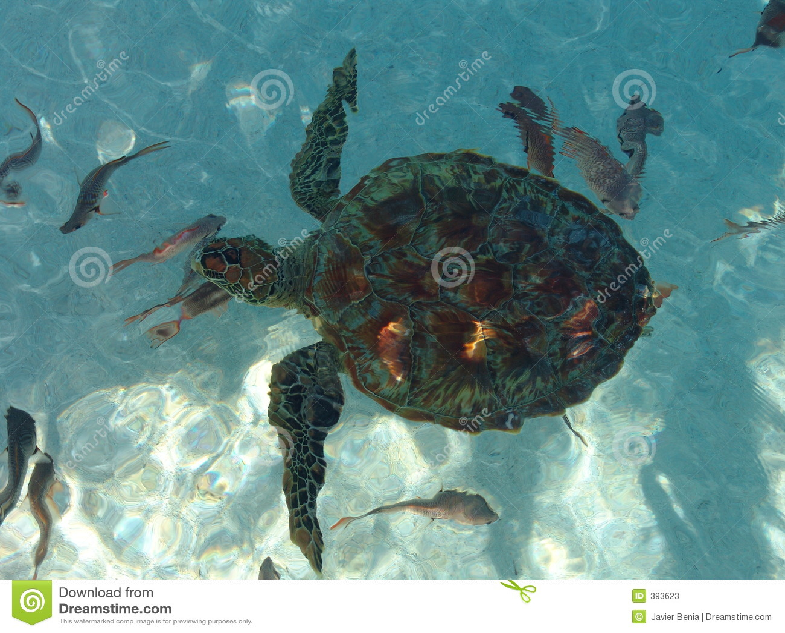 Polynesische schildpad van hierboven