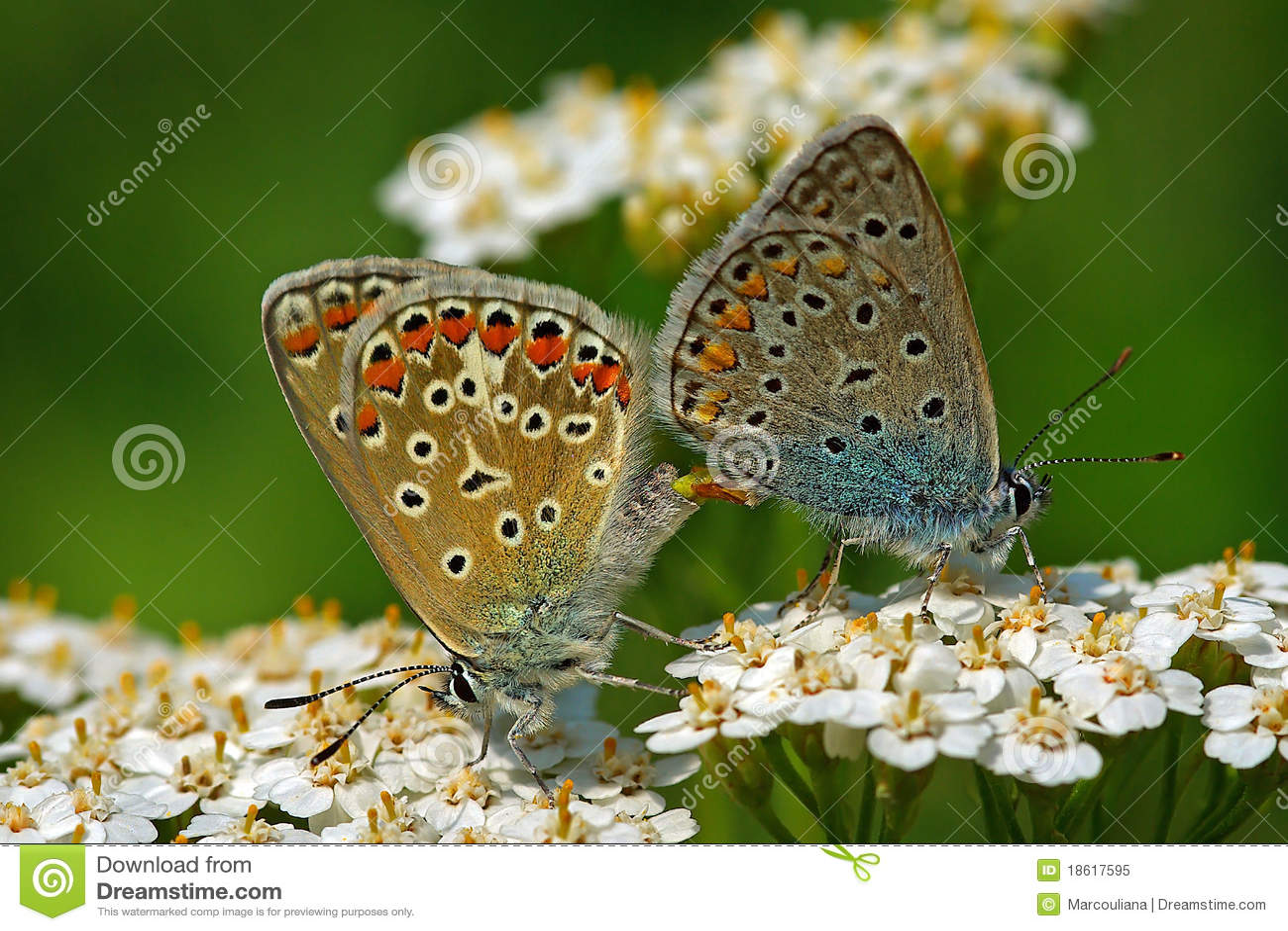 Polyommatus icarus pair