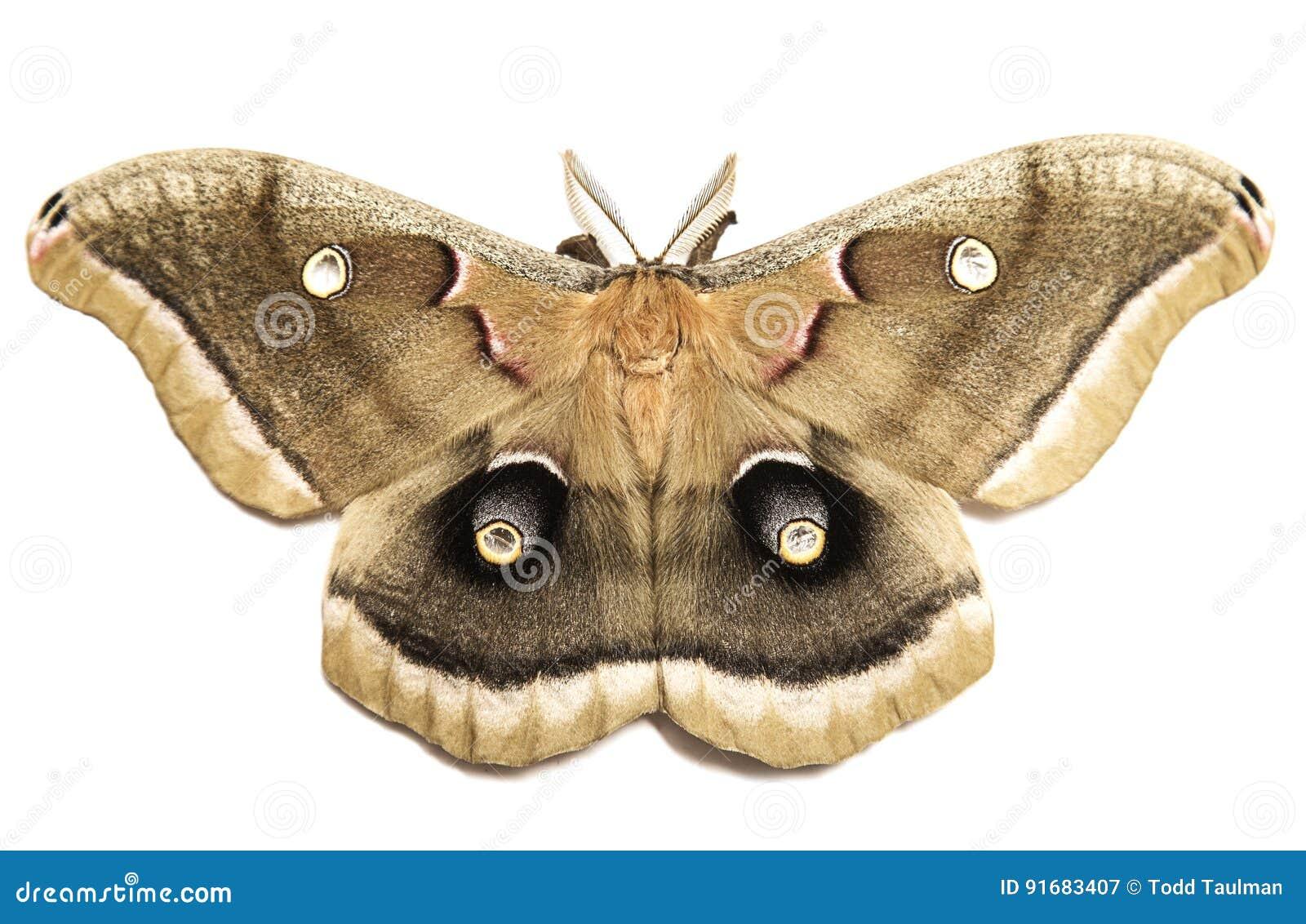 Polyphemus飞蛾