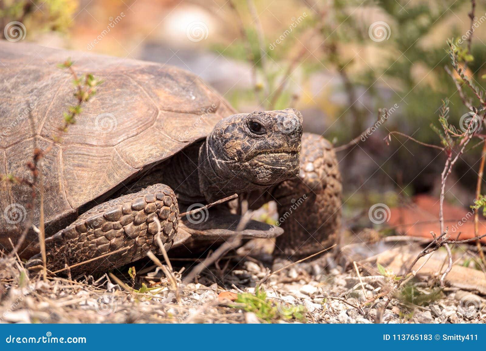 Polyphemus de Gopherus de tortue de Gopher de la Floride