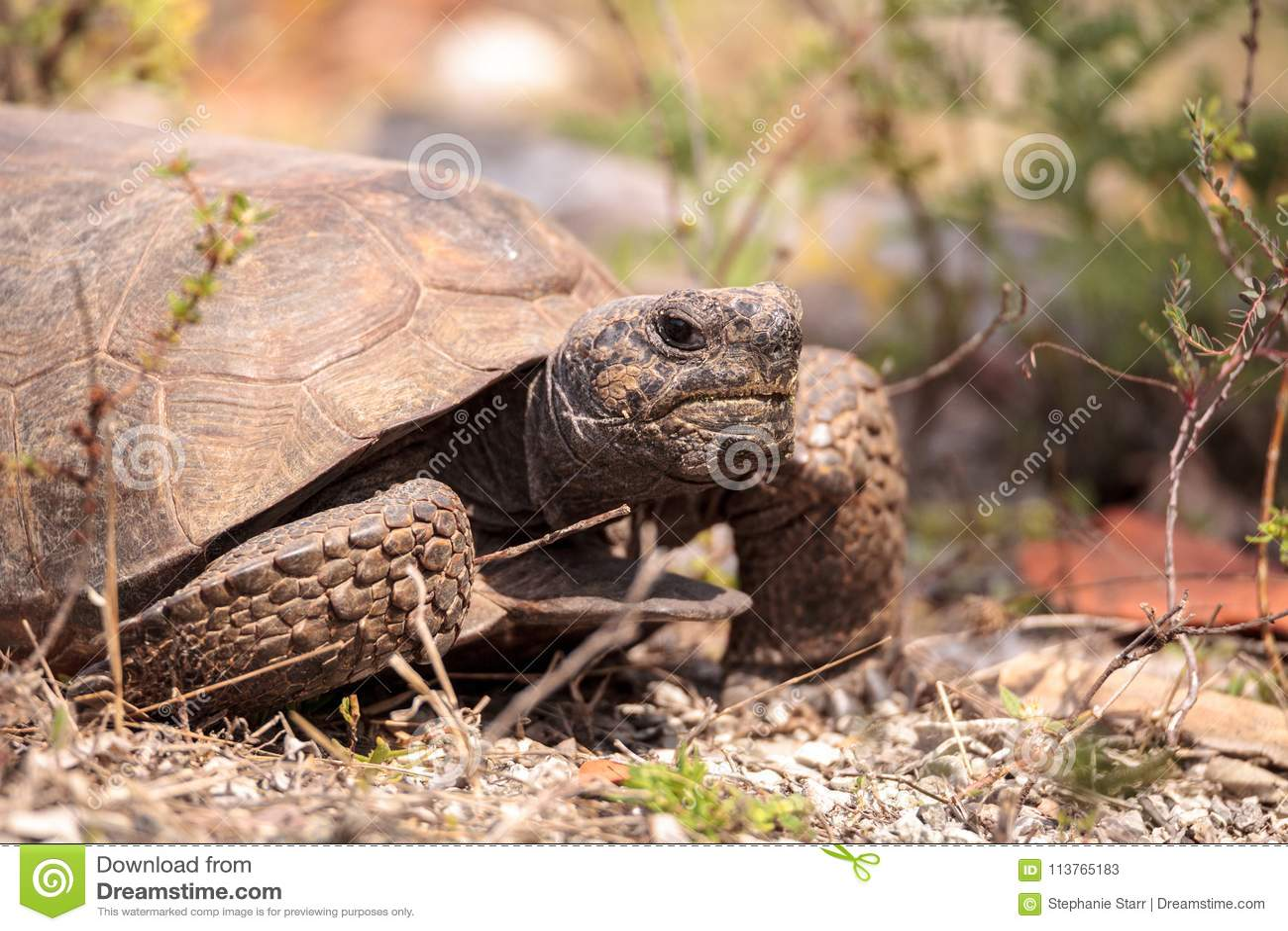 Polyphemus del Gopherus de la tortuga de Gopher de la Florida