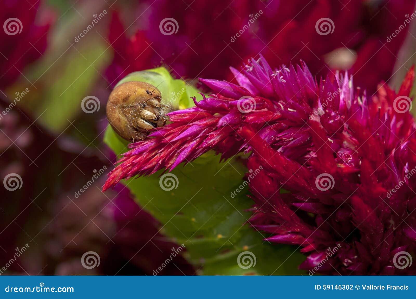 Polyphemus-Mottenwurm auf rotem Celosia plumosa