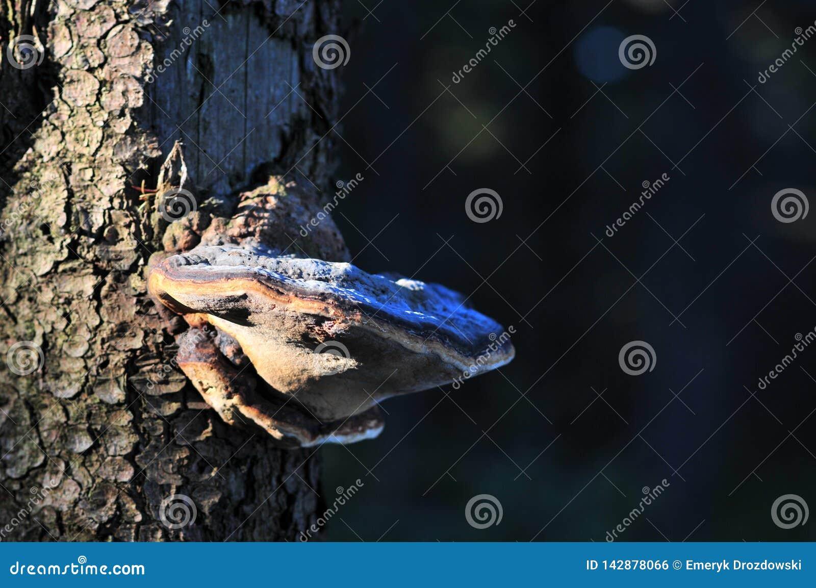 Polypore del fungo di sostegno sul tronco di albero