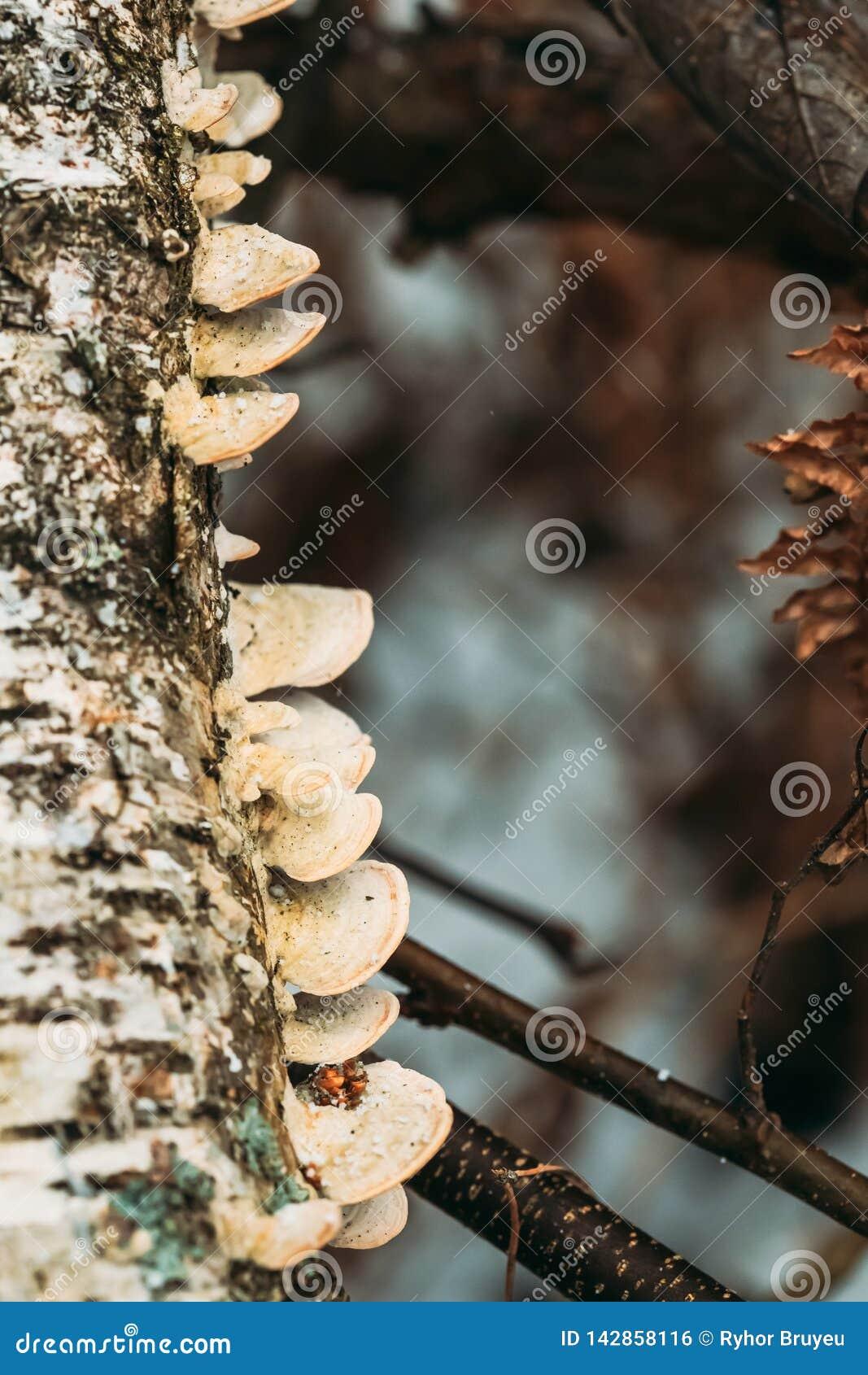 _ Polypore svamp på trädstammen i Autumn Rainy Day Konsolsvampar och deras Woody Fruiting Bodies Are Called