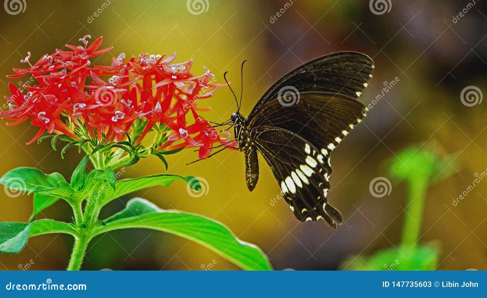 Polytes de Papilio, el mormón común que se sienta en una flor