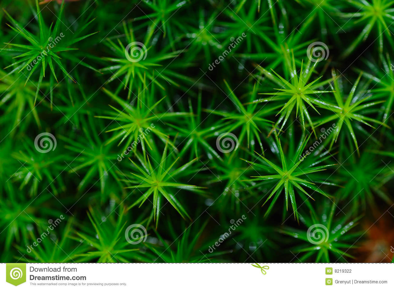Polytrichum Commune Stock Photo  Image Of Moss  Leaves