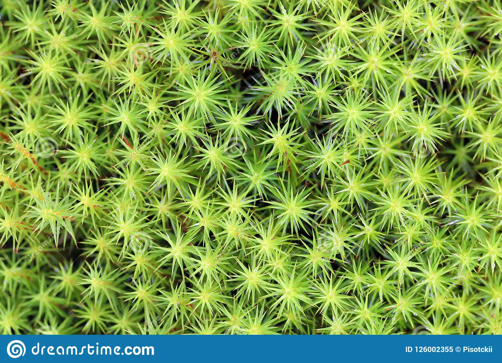 Polytrichum Commune  The Background Of The Growing Moss