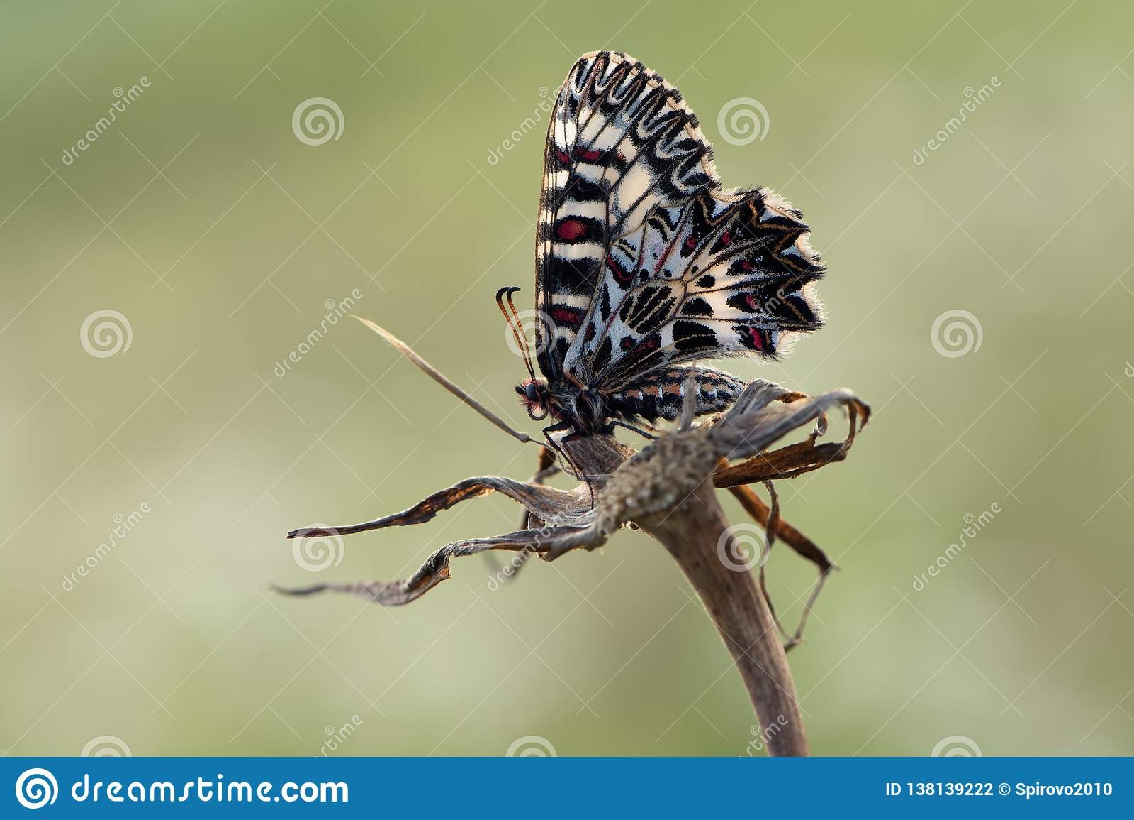 Polyxena van vlinderzerynthia