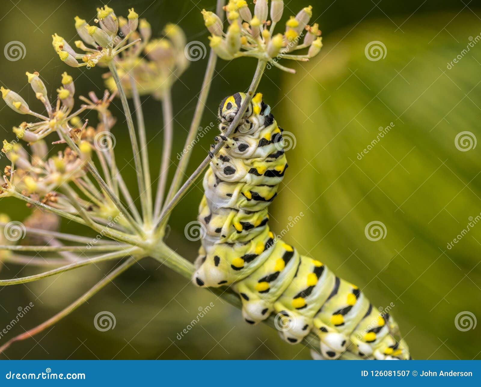 Polyxenes de Papilio, lagarta preta oriental do swallowtail