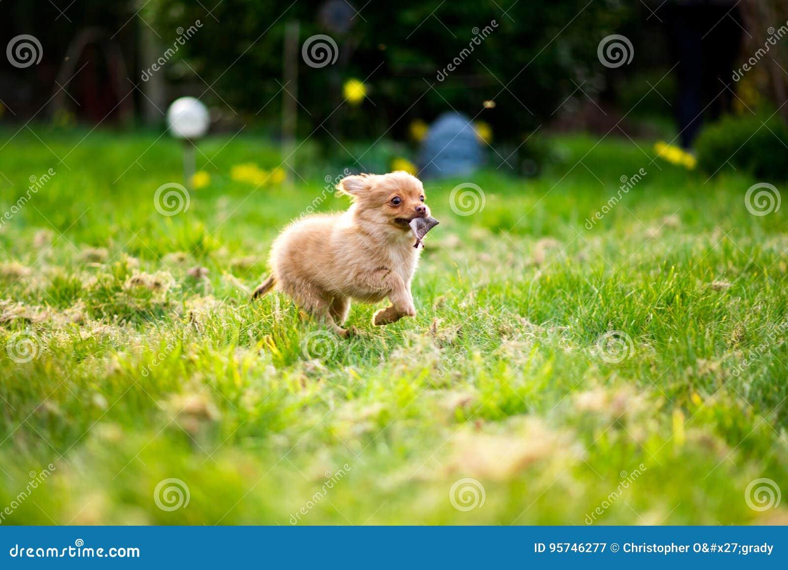 Pom-chi hondpuppy die tuin & x28 doornemen; Pomeranian chihuahua& x29;