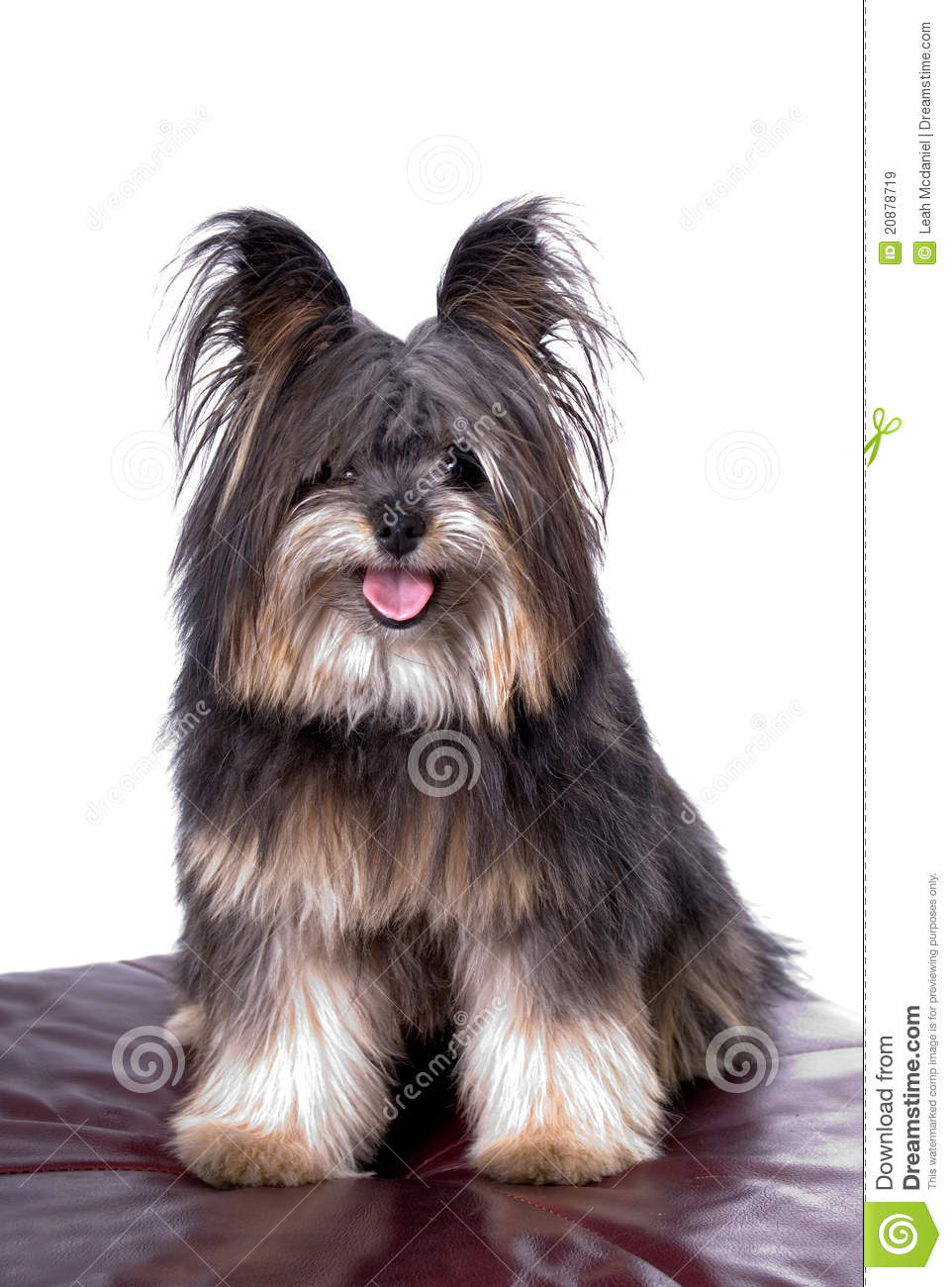 Pom/Poodle/Yorkie Mix Royalty Free Stock Images - Image: 20878719