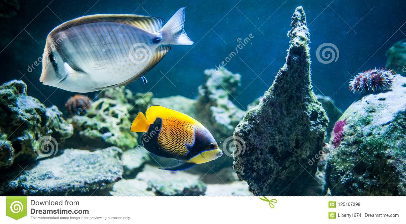 Pomacanthus navarchus, majestic angelfish, Fish swimming in the