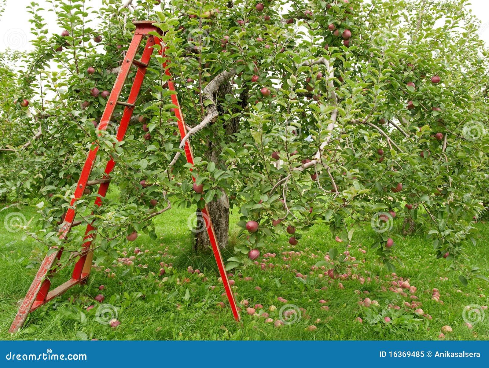 Pomar com a escada para pegarar maçãs