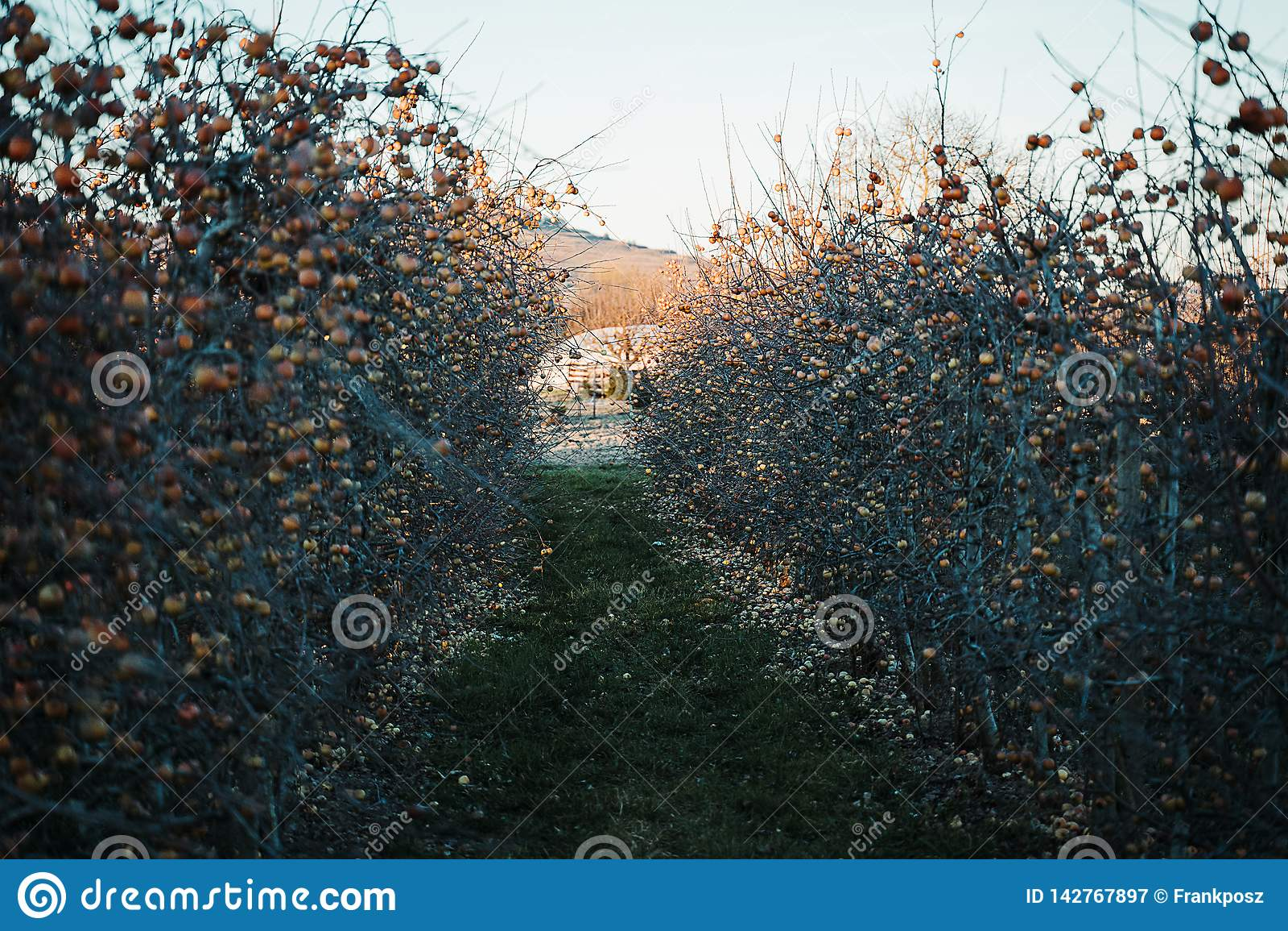 Pomar de Apple na primavera