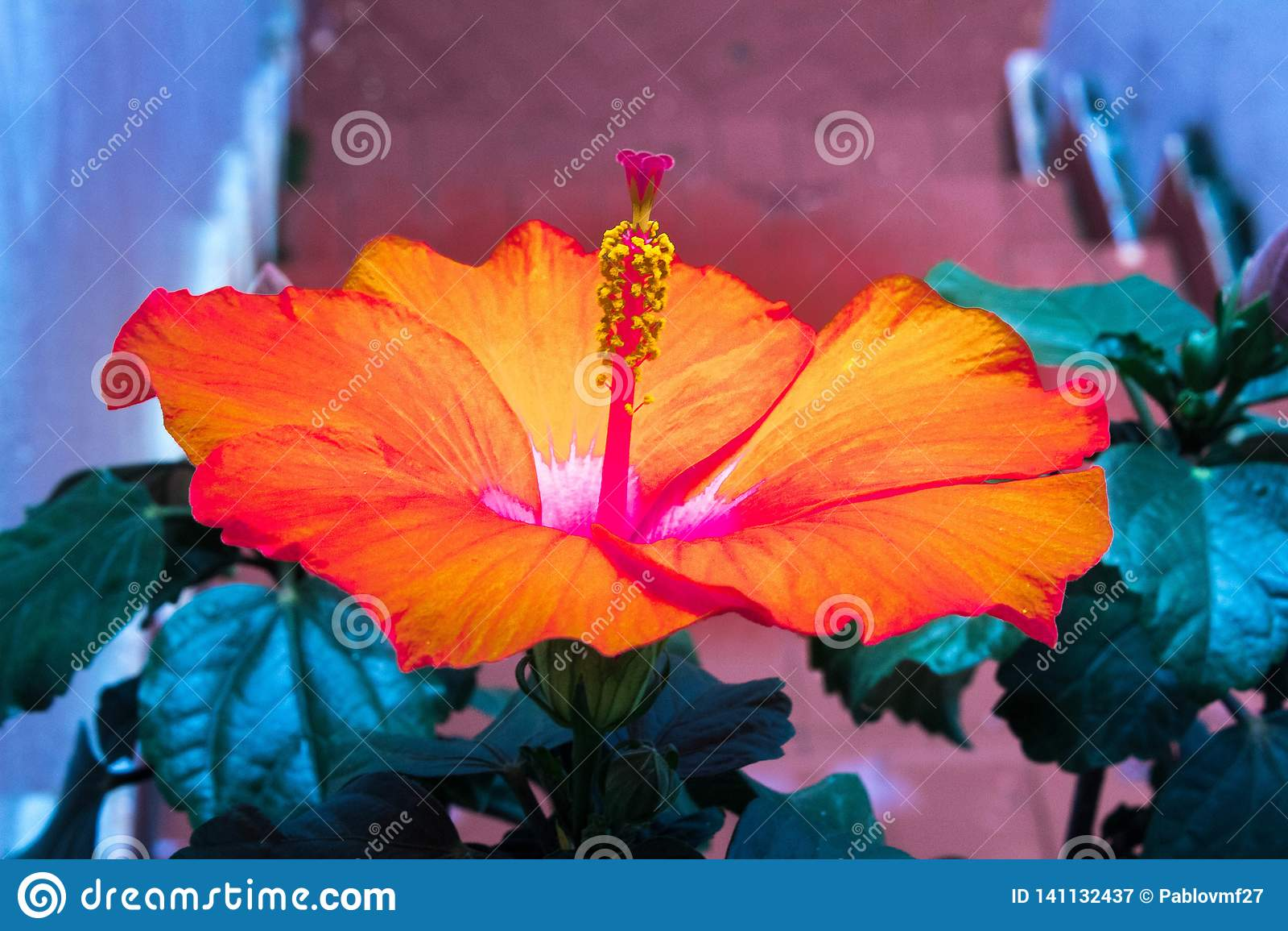 Pomarańczowy poślubnika kwiat w domu ogródzie