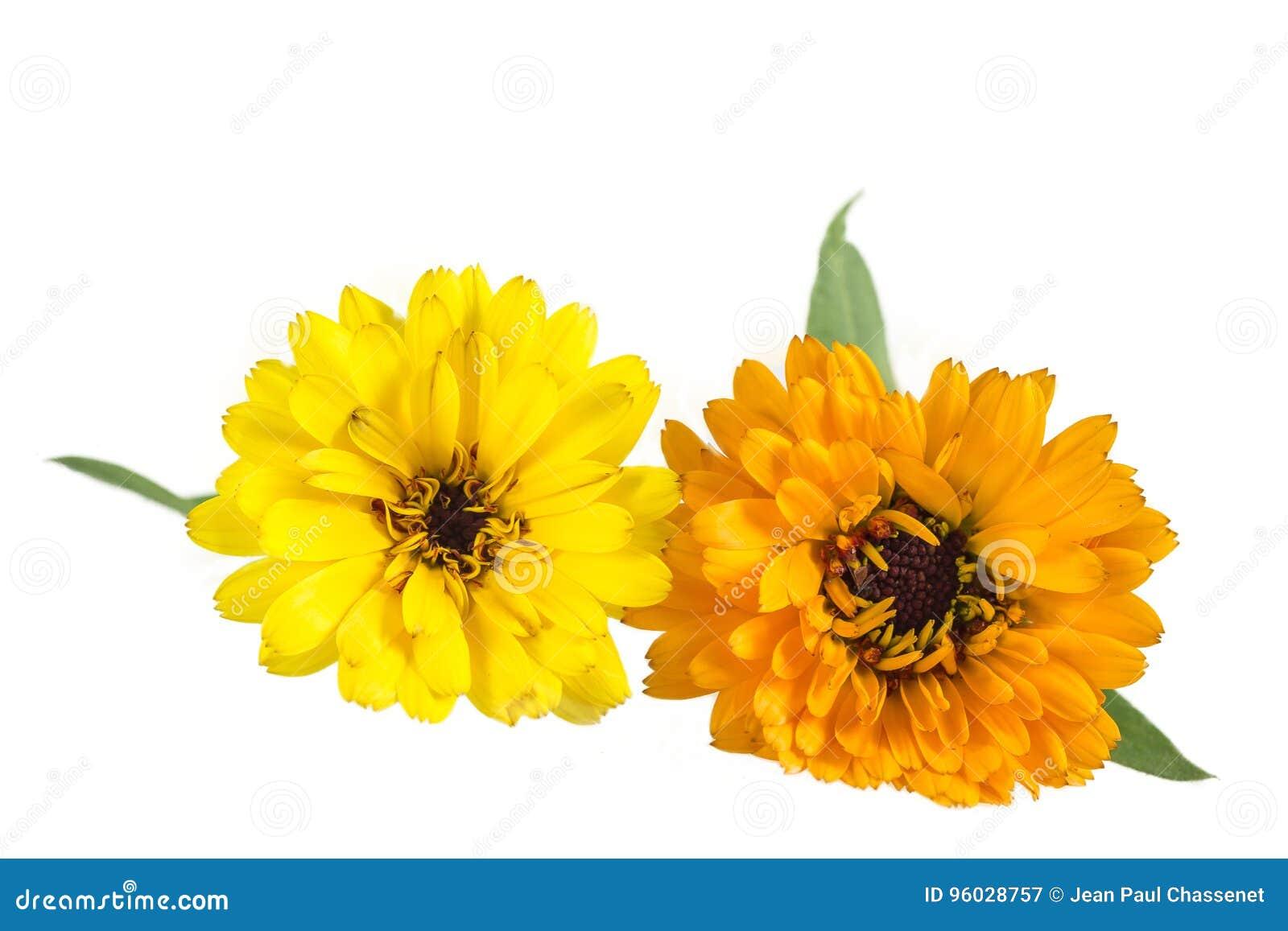 Pomarańcze i kolory żółci Barwiący Calendula kwiaty Odizolowywający na bielu