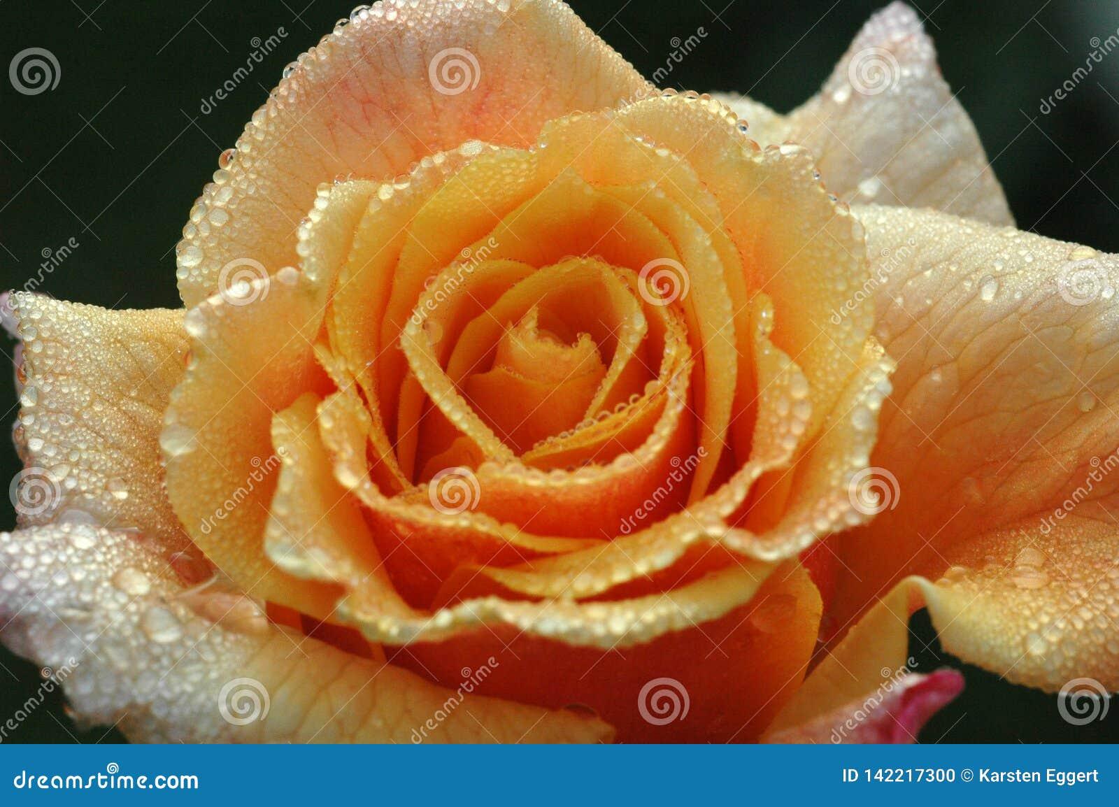 Pomarańcze róża w ranek rosie