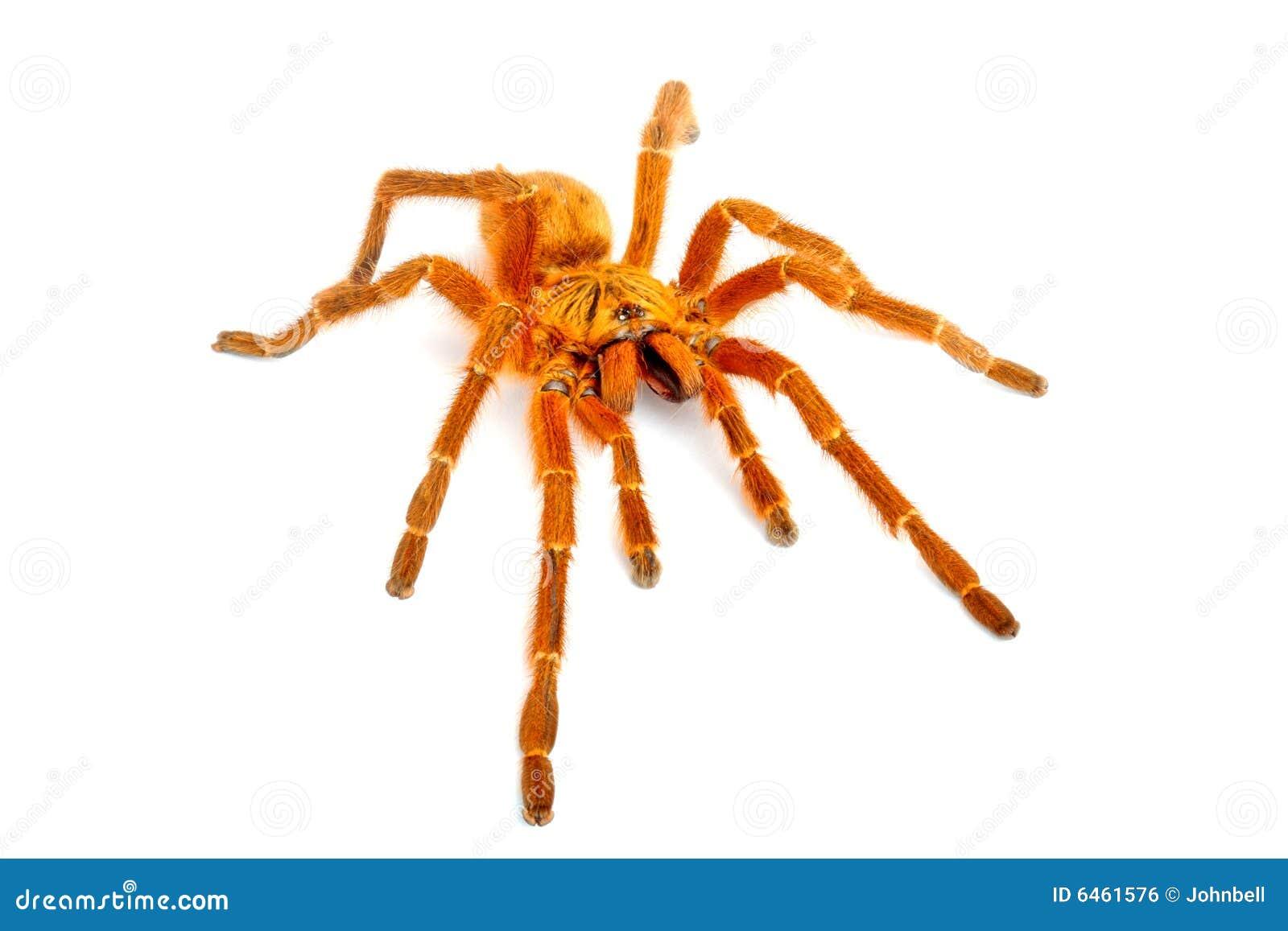 Pomarańcze tarantulę pawianie