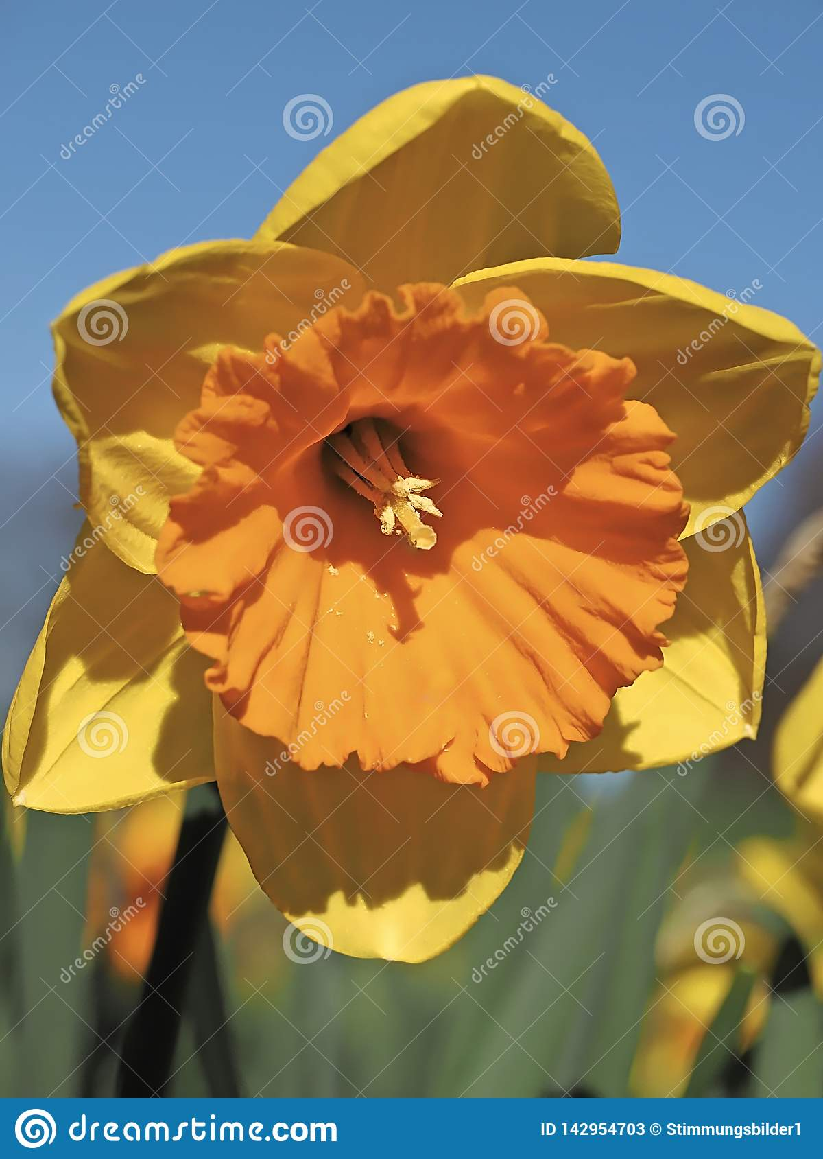 Pomarańcze wypełniający kwitnący daffodils