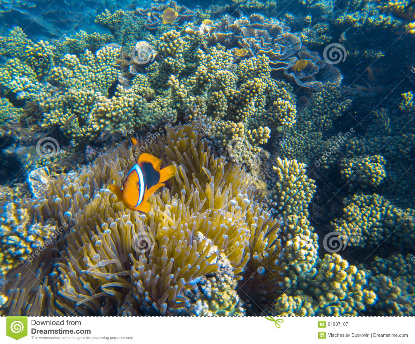 Pomarańczowa błazen ryba w aktynów czułkach Clownfish w dennej roślinie