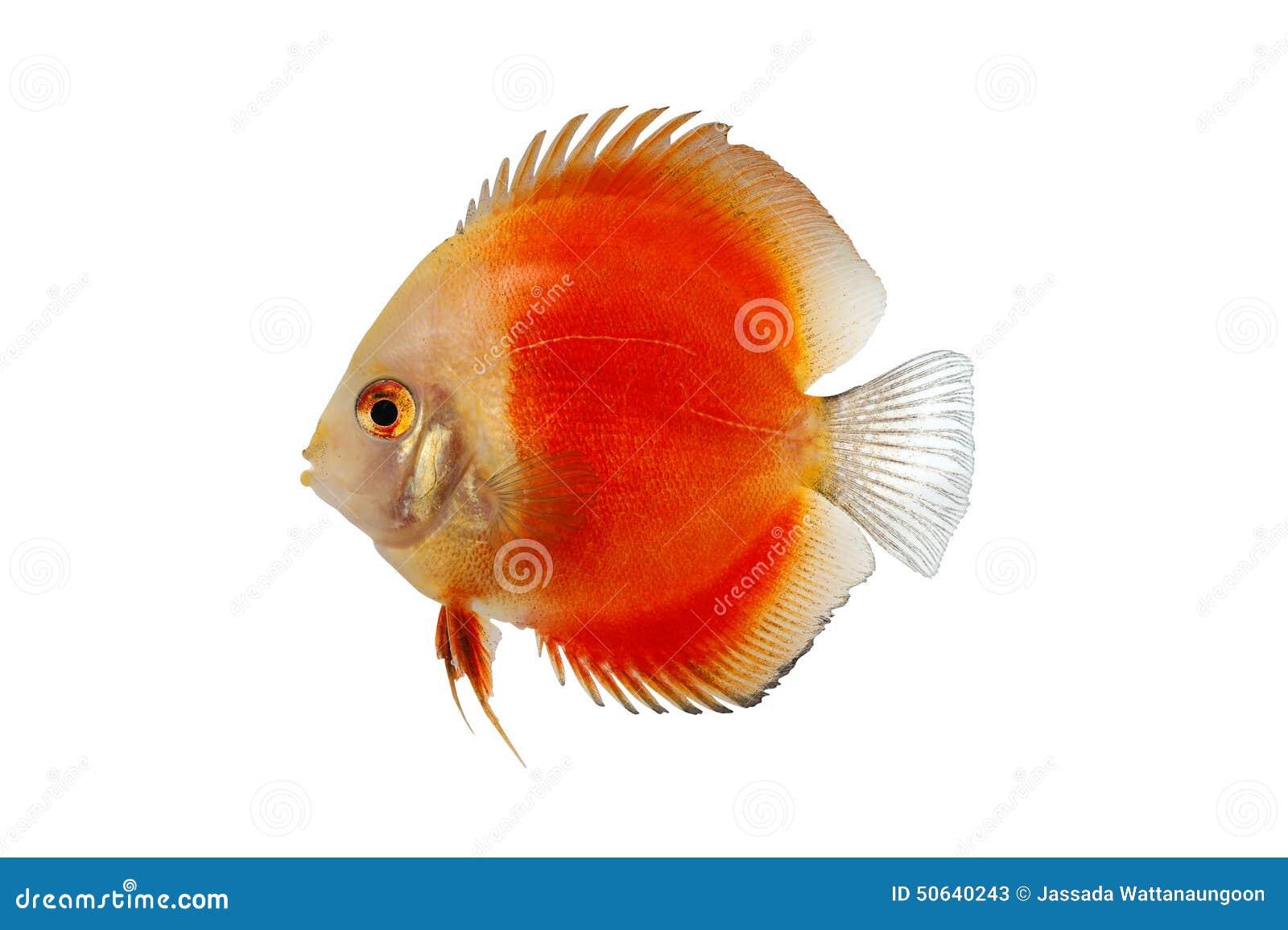 Pomarańczowa dysk ryba Odizolowywająca na białym tle