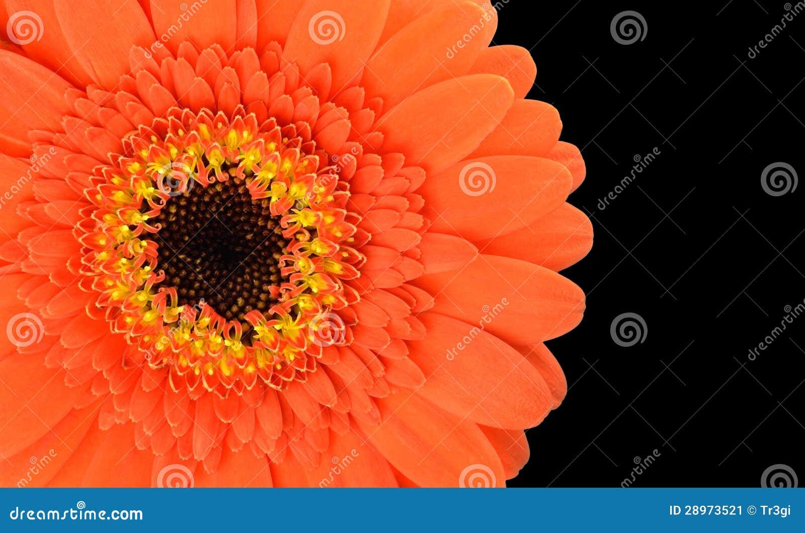 Pomarańczowa Gerbera kwiatu część Odizolowywająca na czerni
