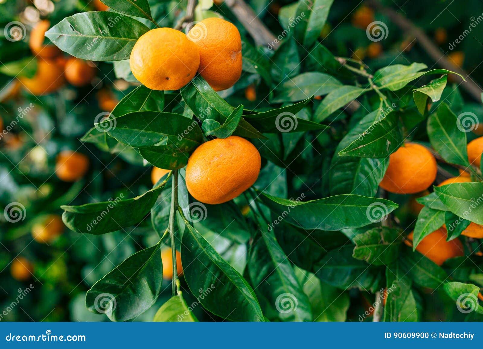 Pomarańczowa mandarynka na drzewie mandarynka dojrzały, Czarnogórski mandari