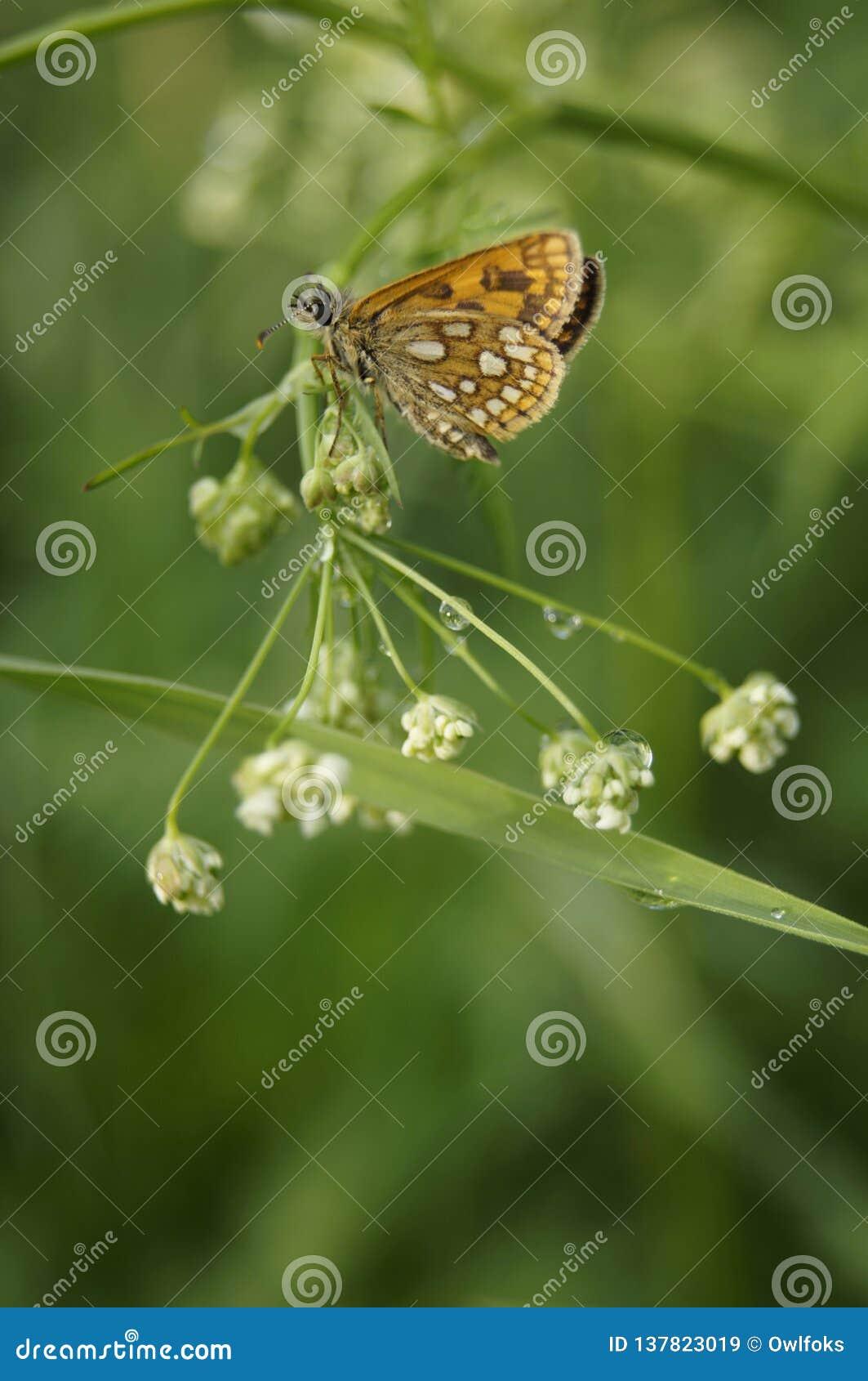 Pomarańczowa motyl zieleni łąka po deszczu