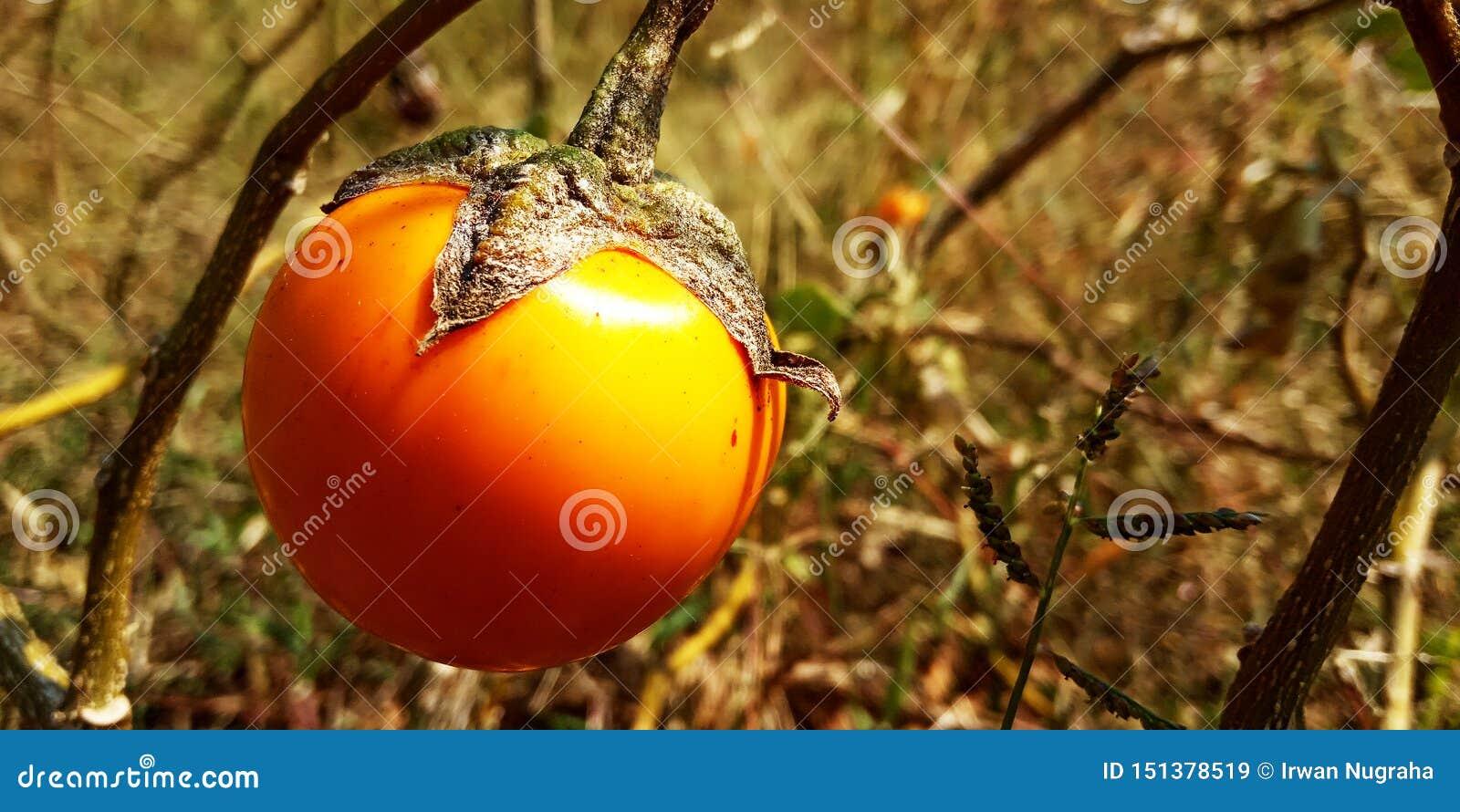 Pomarańczowa oberżyna