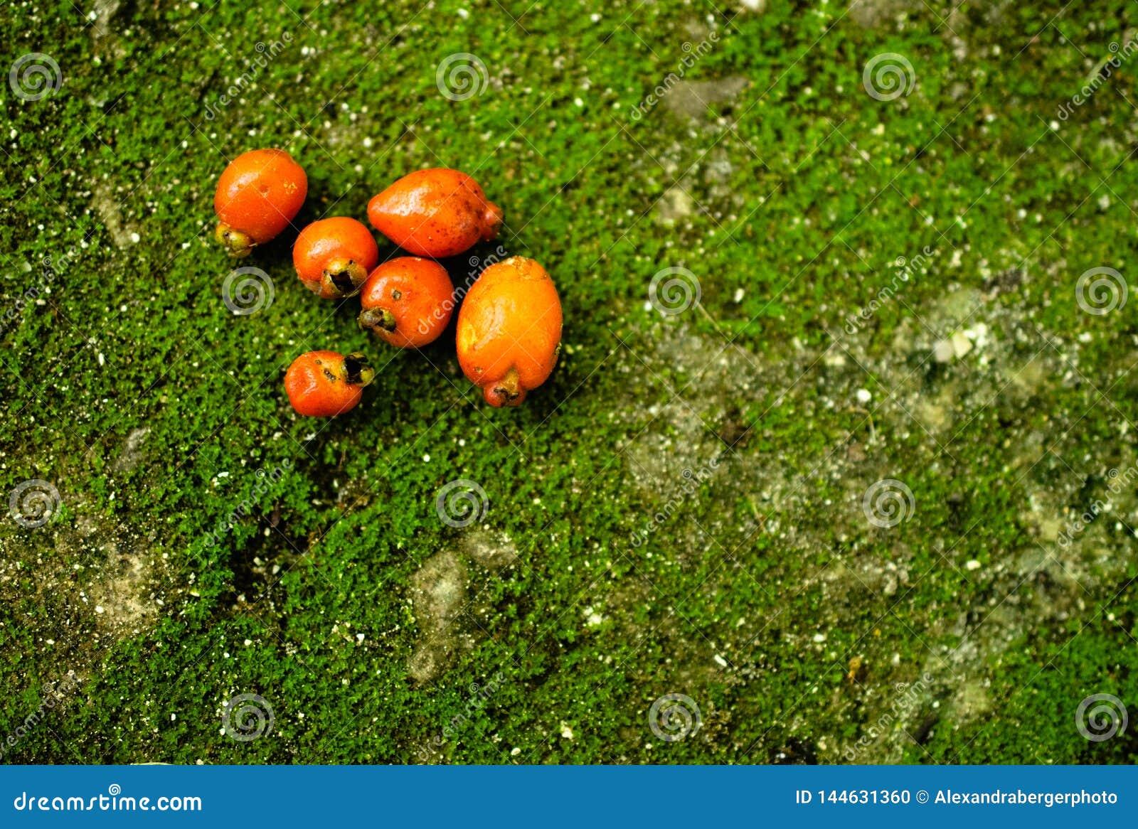 Pomarańczowe owoc na zielonym tle z mech